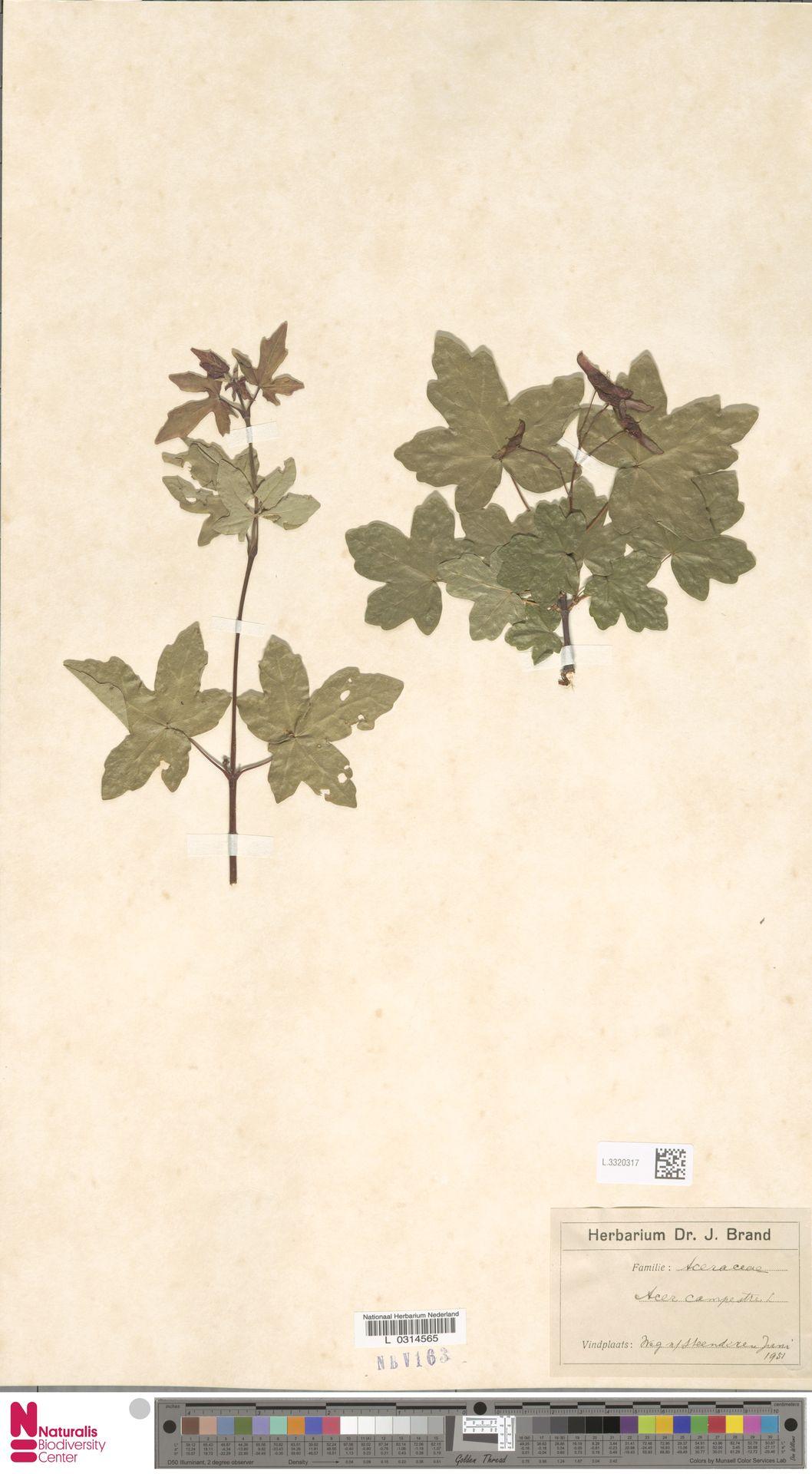 L.3320317 | Acer campestre L.