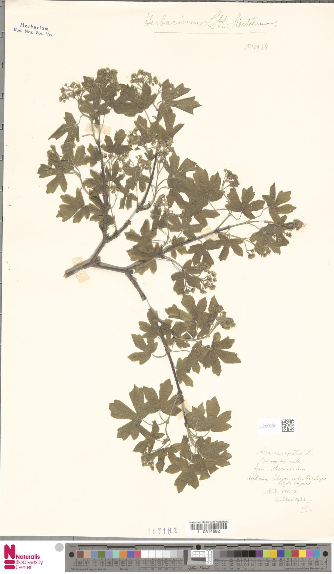 L.3320338   Acer campestre L.
