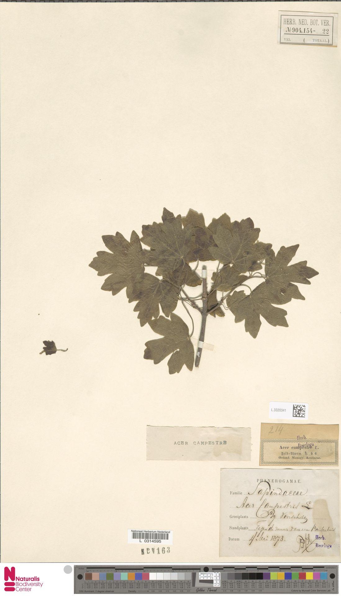 L.3320341 | Acer campestre L.