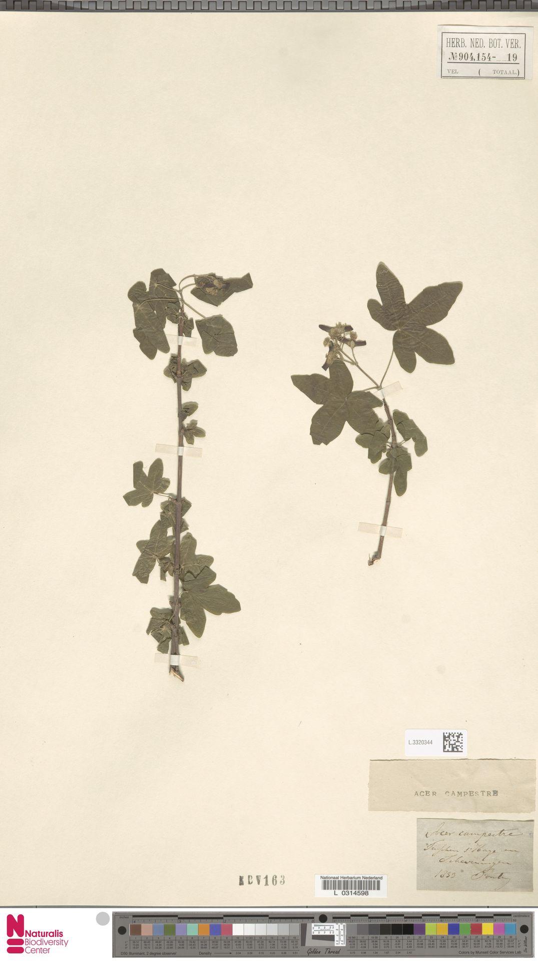 L.3320344 | Acer campestre L.