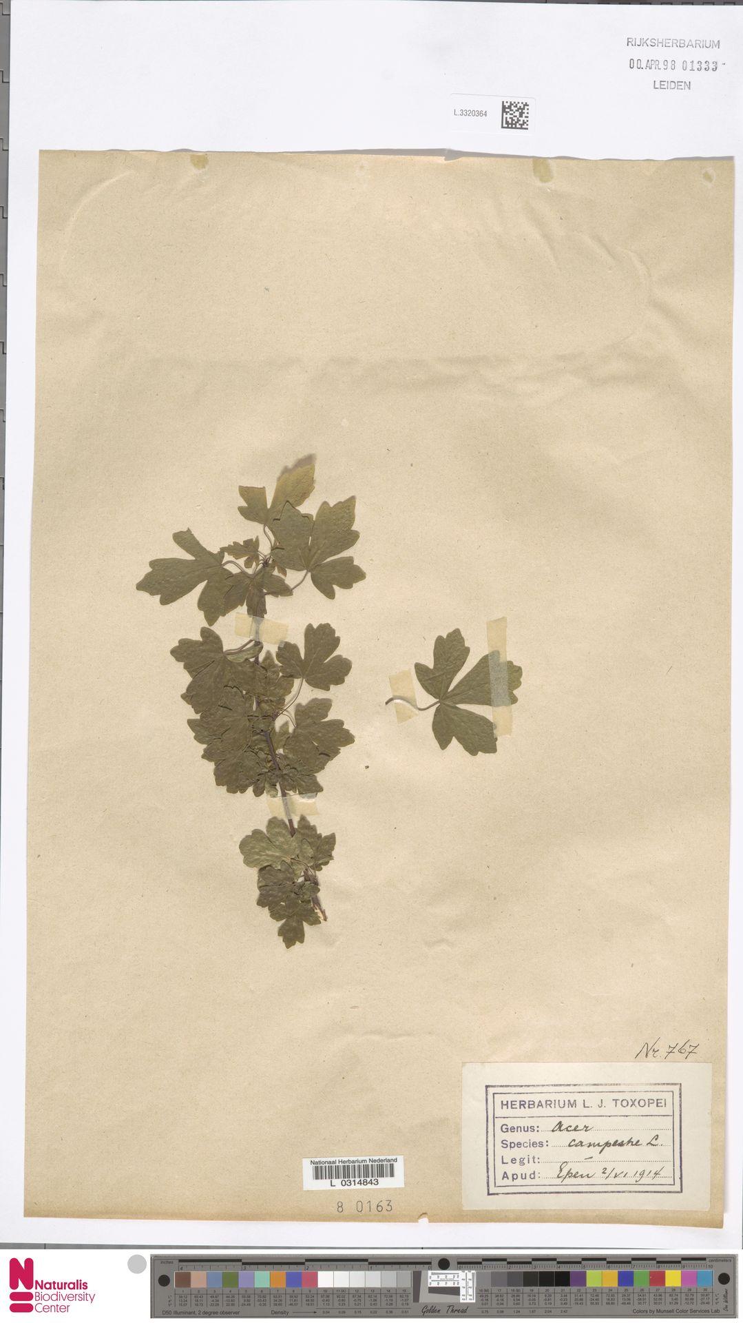 L.3320364 | Acer campestre L.