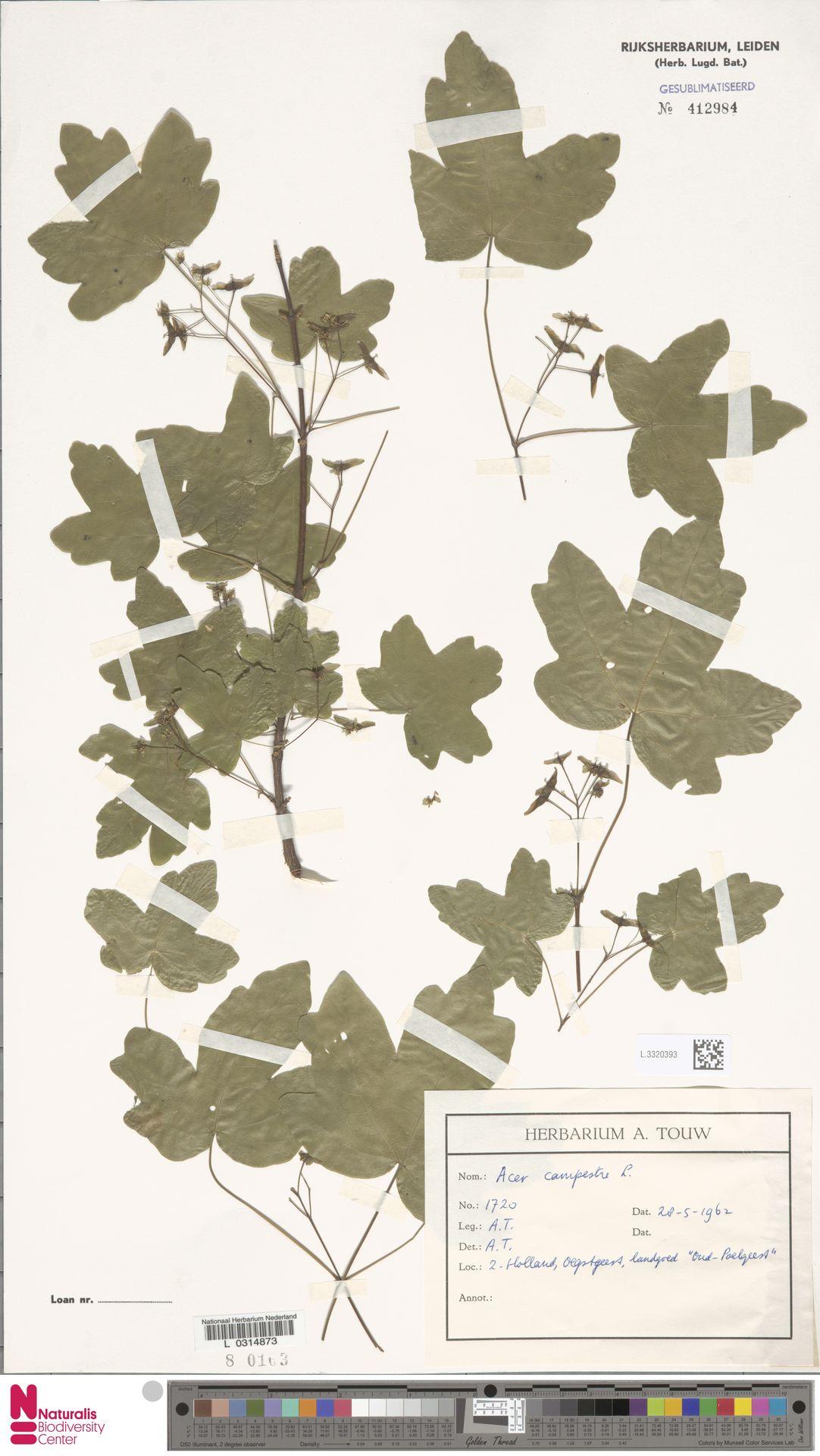 L.3320393 | Acer campestre L.