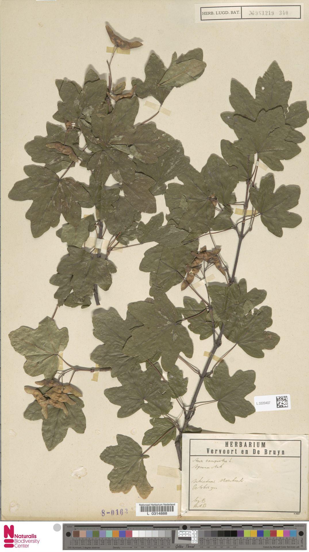 L.3320407 | Acer campestre L.