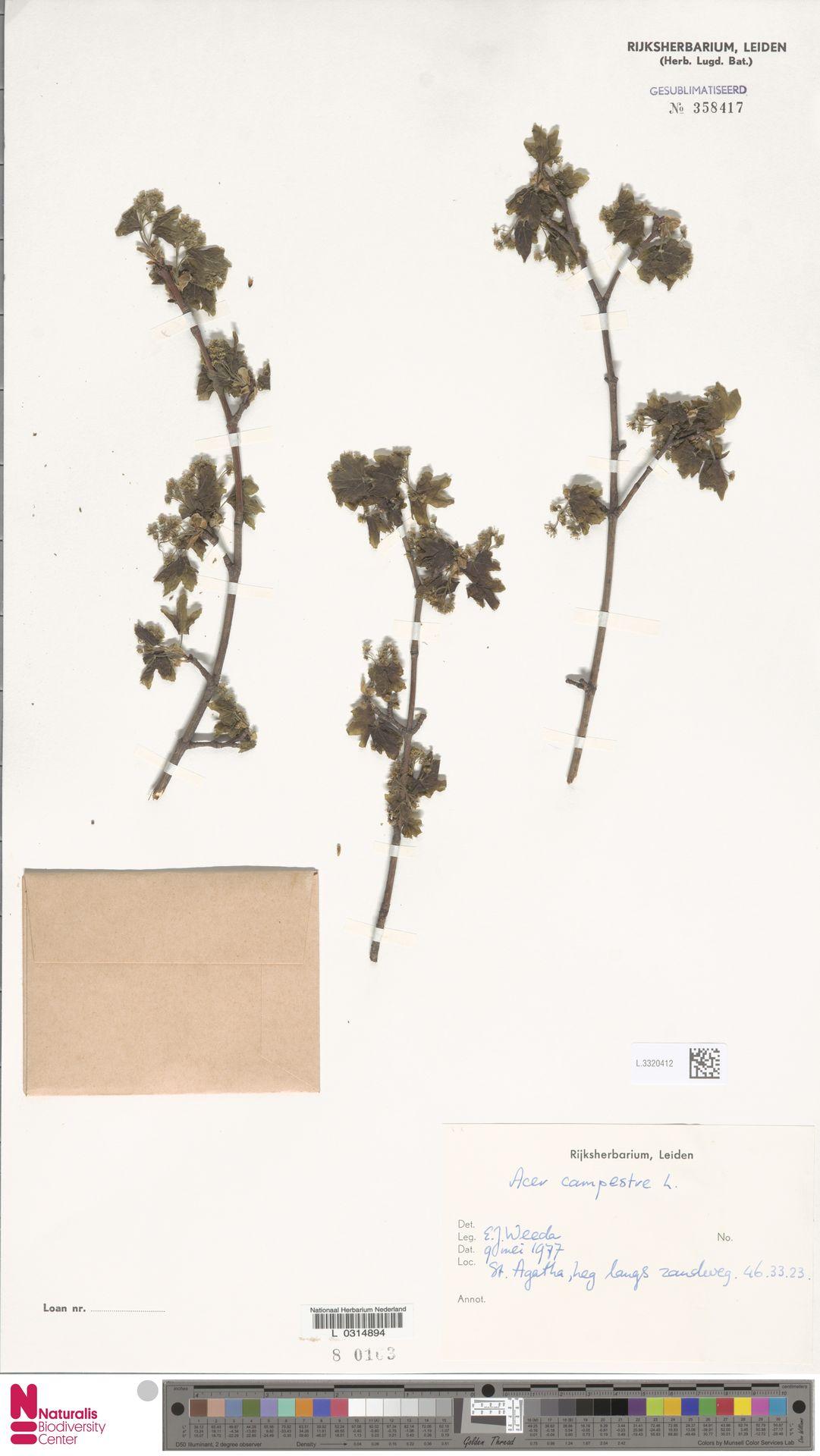 L.3320412 | Acer campestre L.