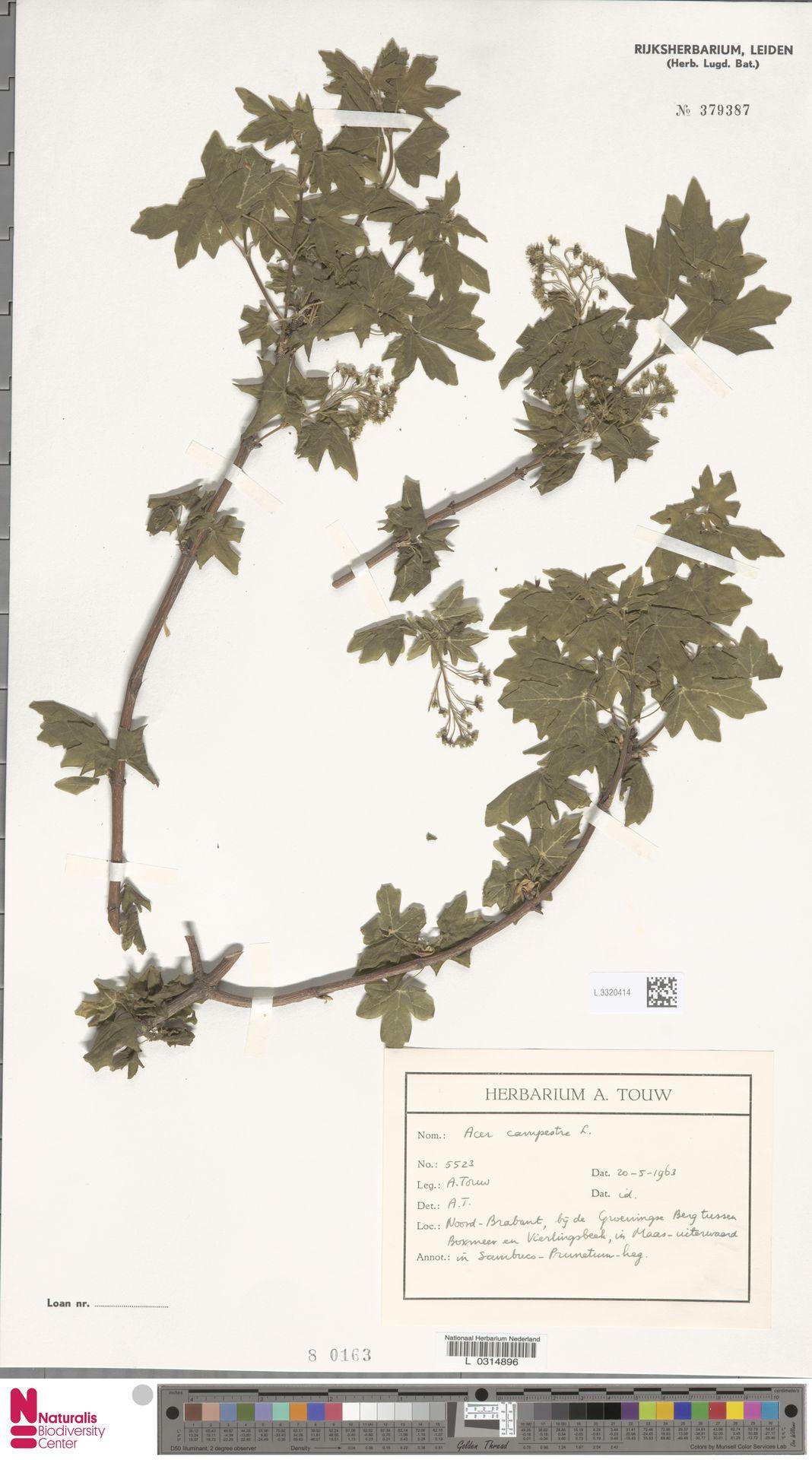 L.3320414   Acer campestre L.