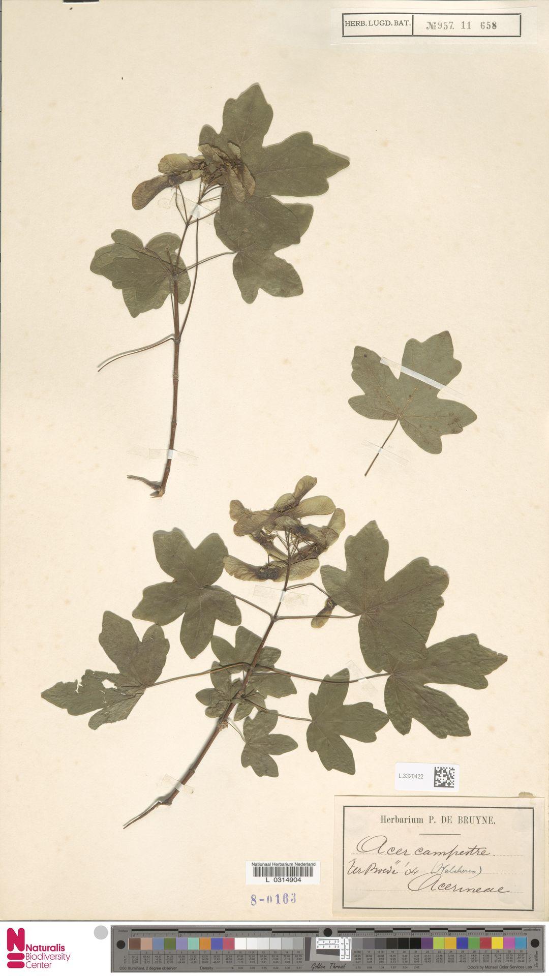 L.3320422   Acer campestre L.