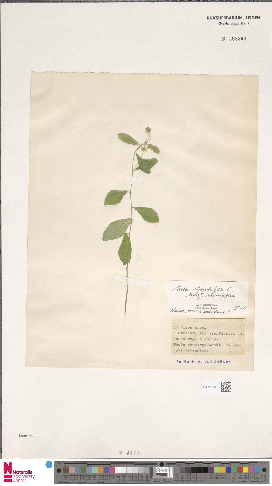 L.3326409 | Sida rhombifolia L.