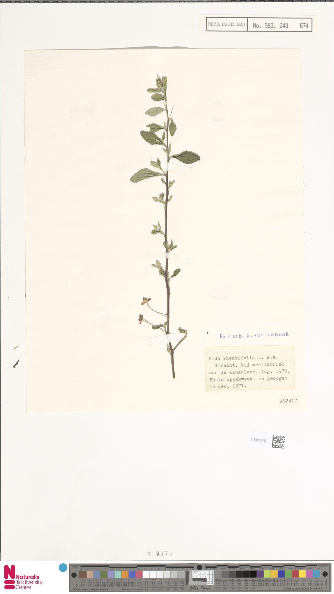 L.3326410   Sida rhombifolia L.