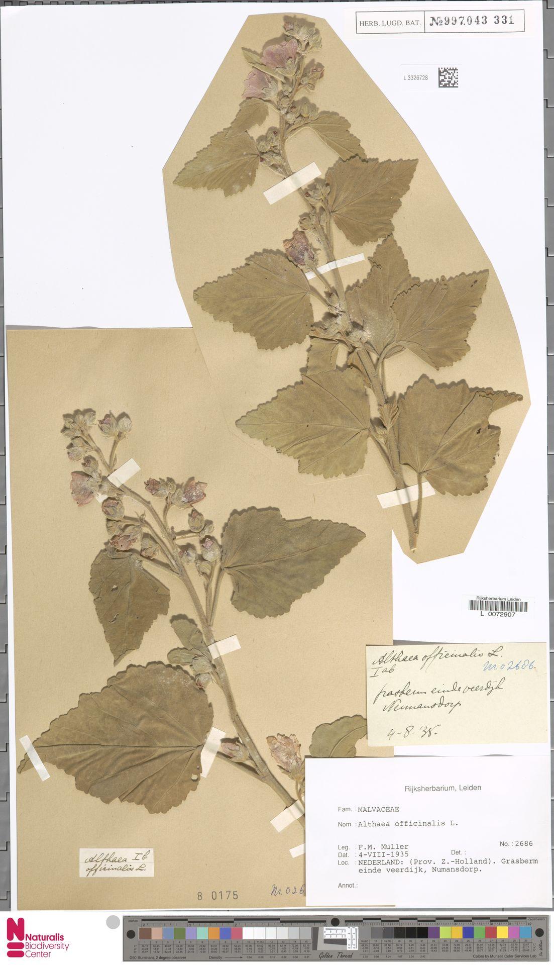 L.3326728 | Althaea officinalis L.