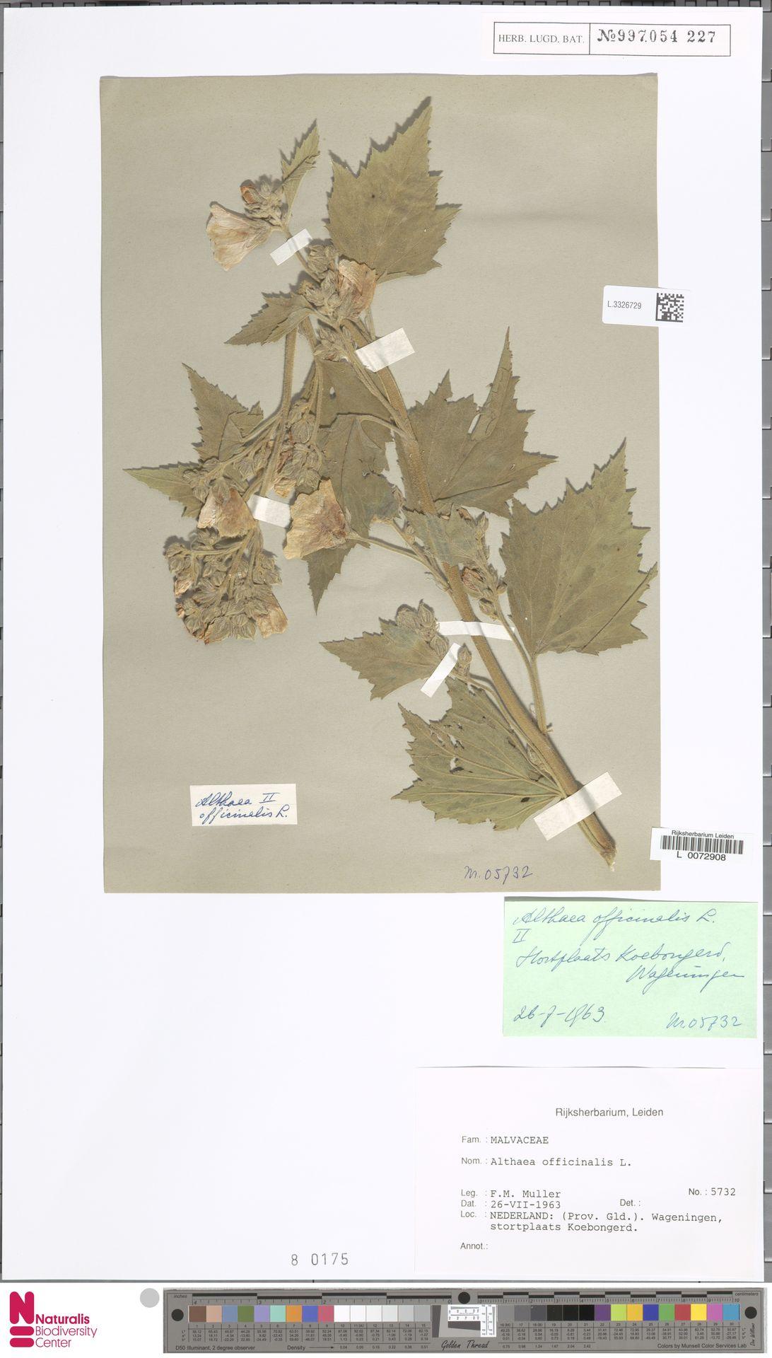 L.3326729 | Althaea officinalis L.