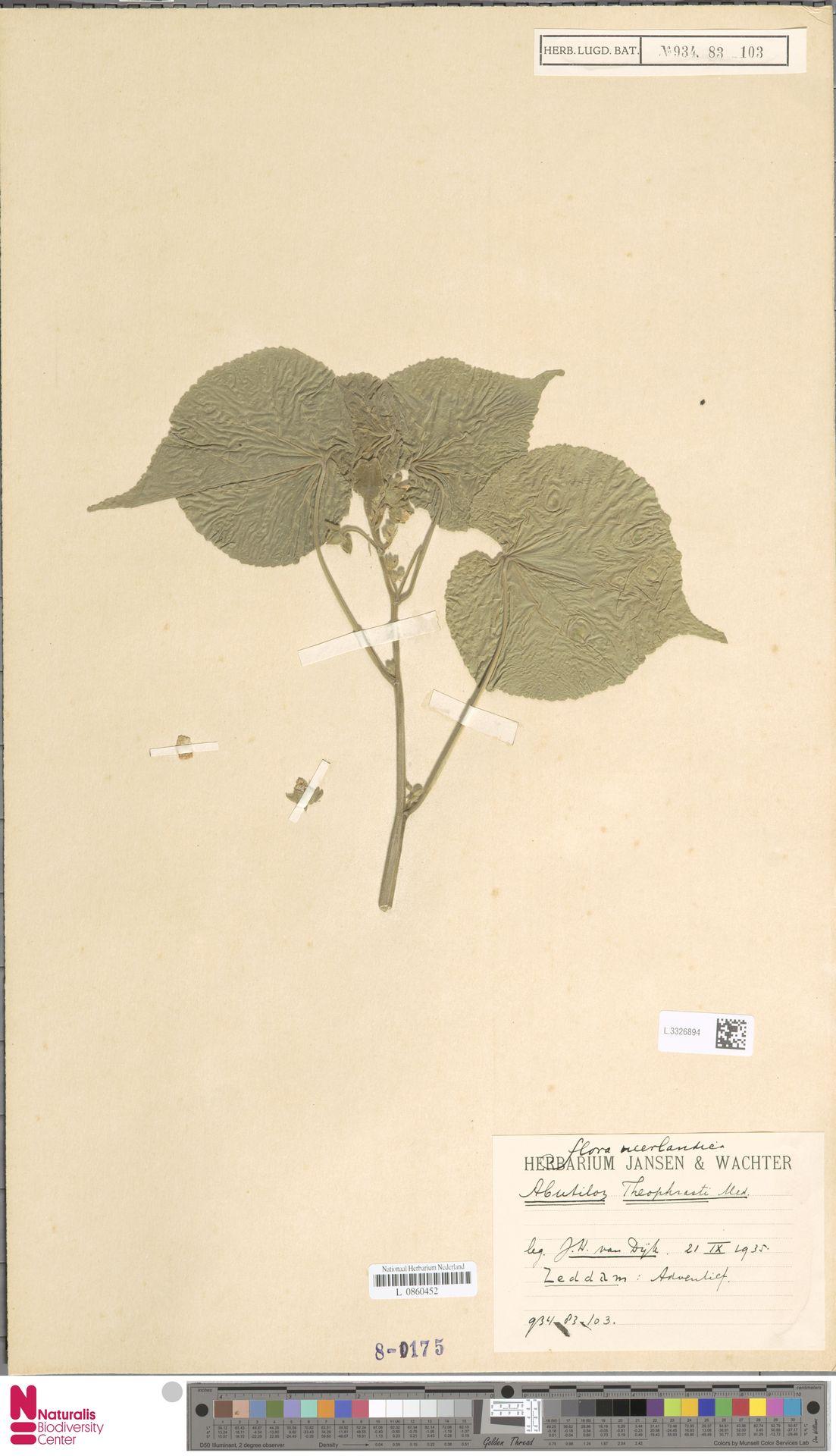 L.3326894 | Abutilon theophrasti Medik.