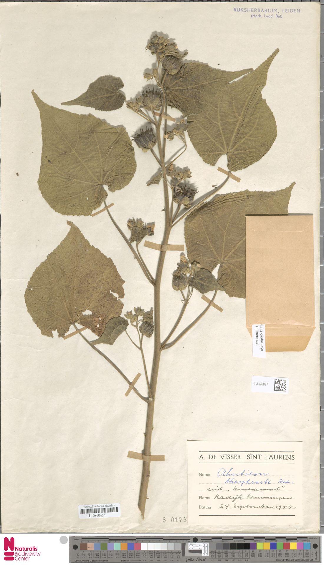 L.3326897 | Abutilon theophrasti Medik.