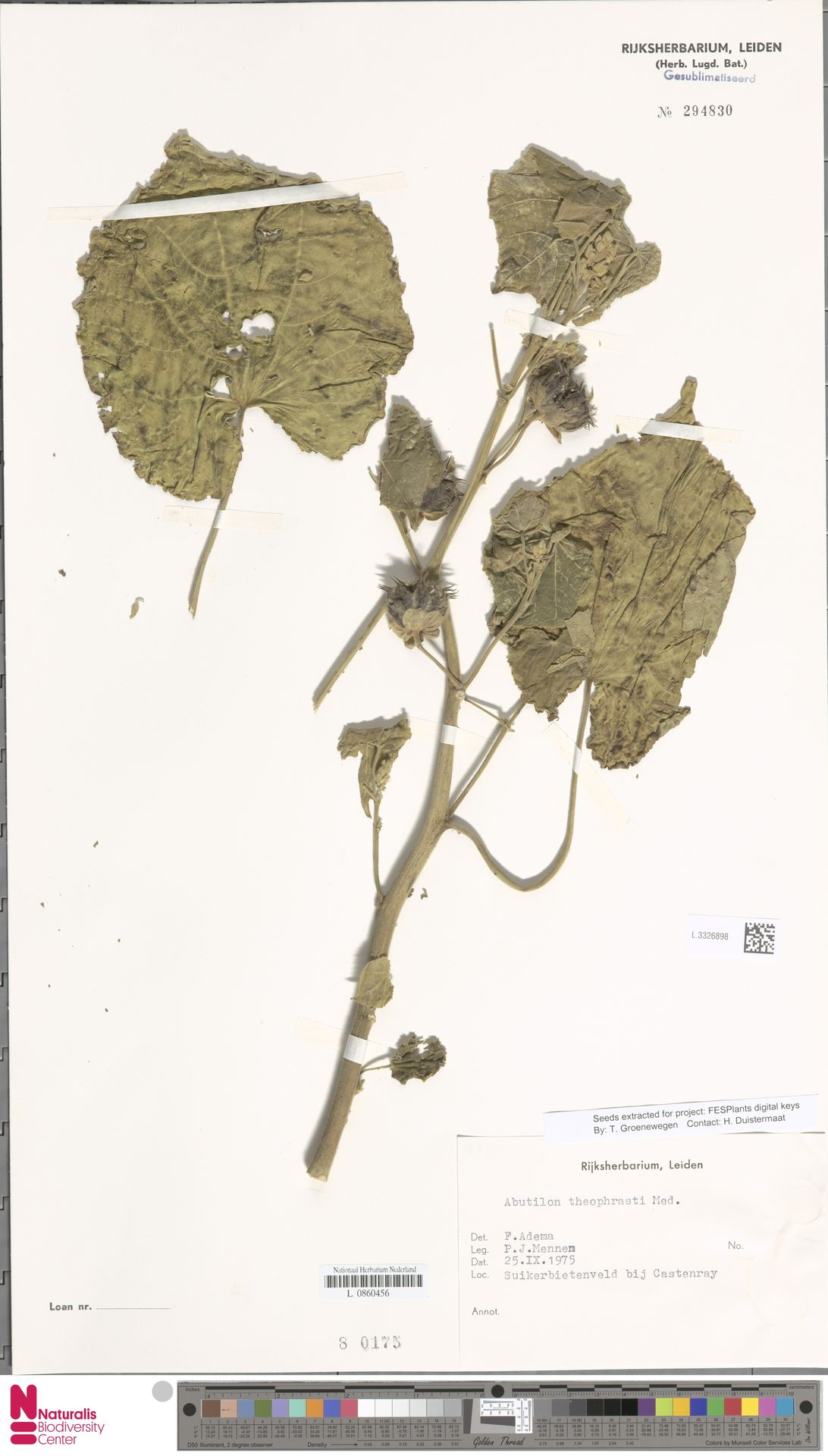 L.3326898   Abutilon theophrasti Medik.
