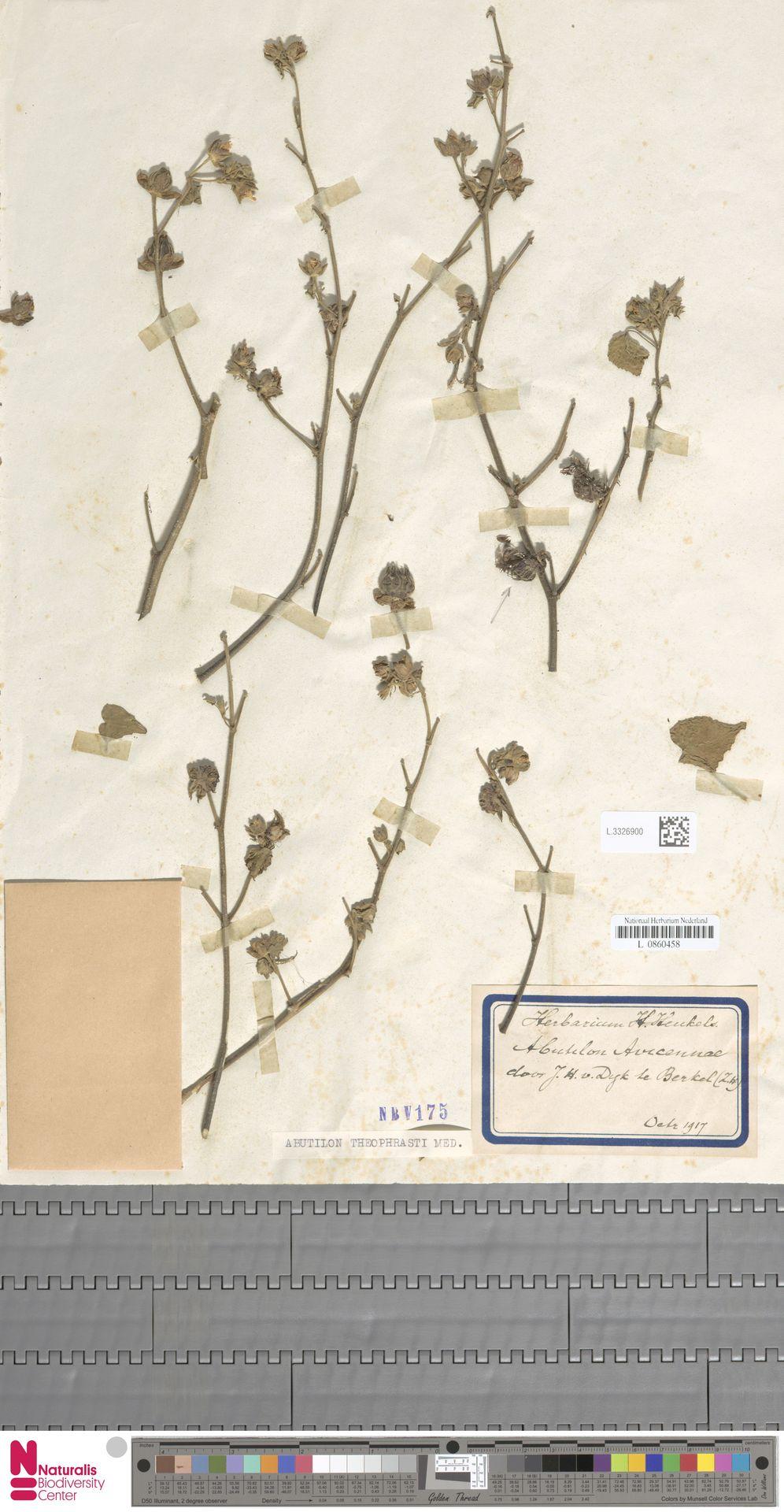L.3326900 | Abutilon theophrasti Medik.