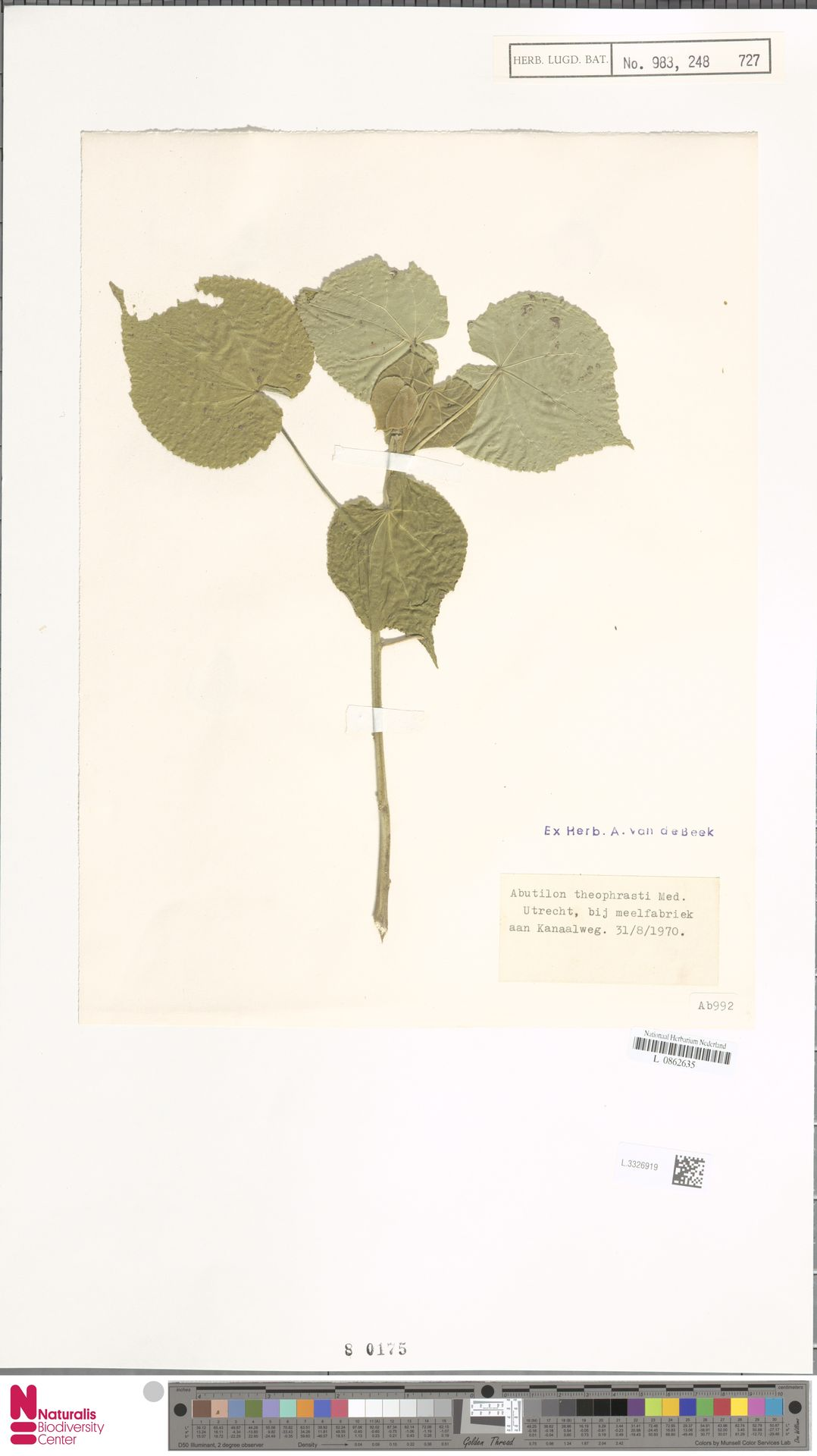 L.3326919   Abutilon theophrasti Medik.