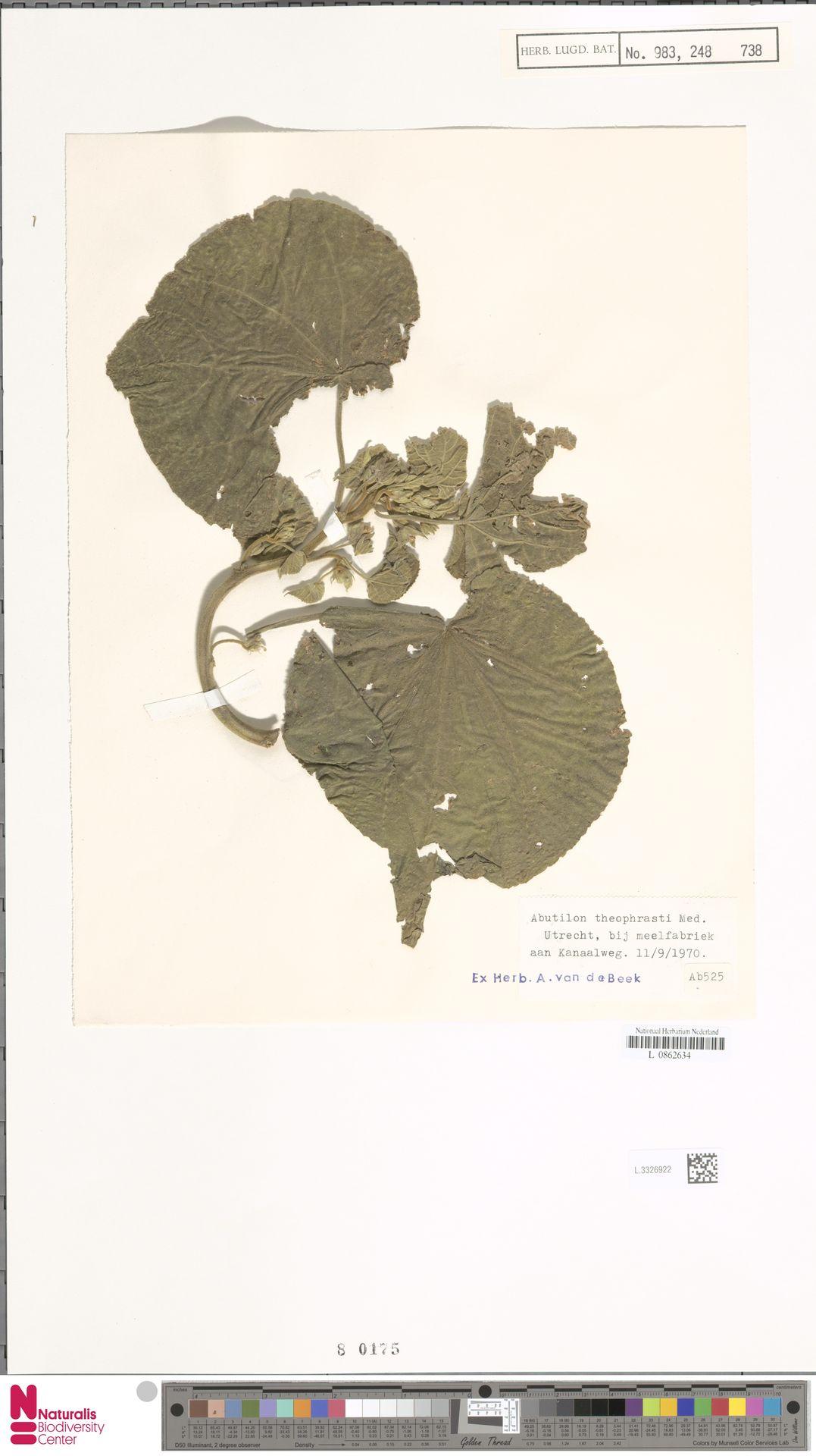 L.3326922 | Abutilon theophrasti Medik.