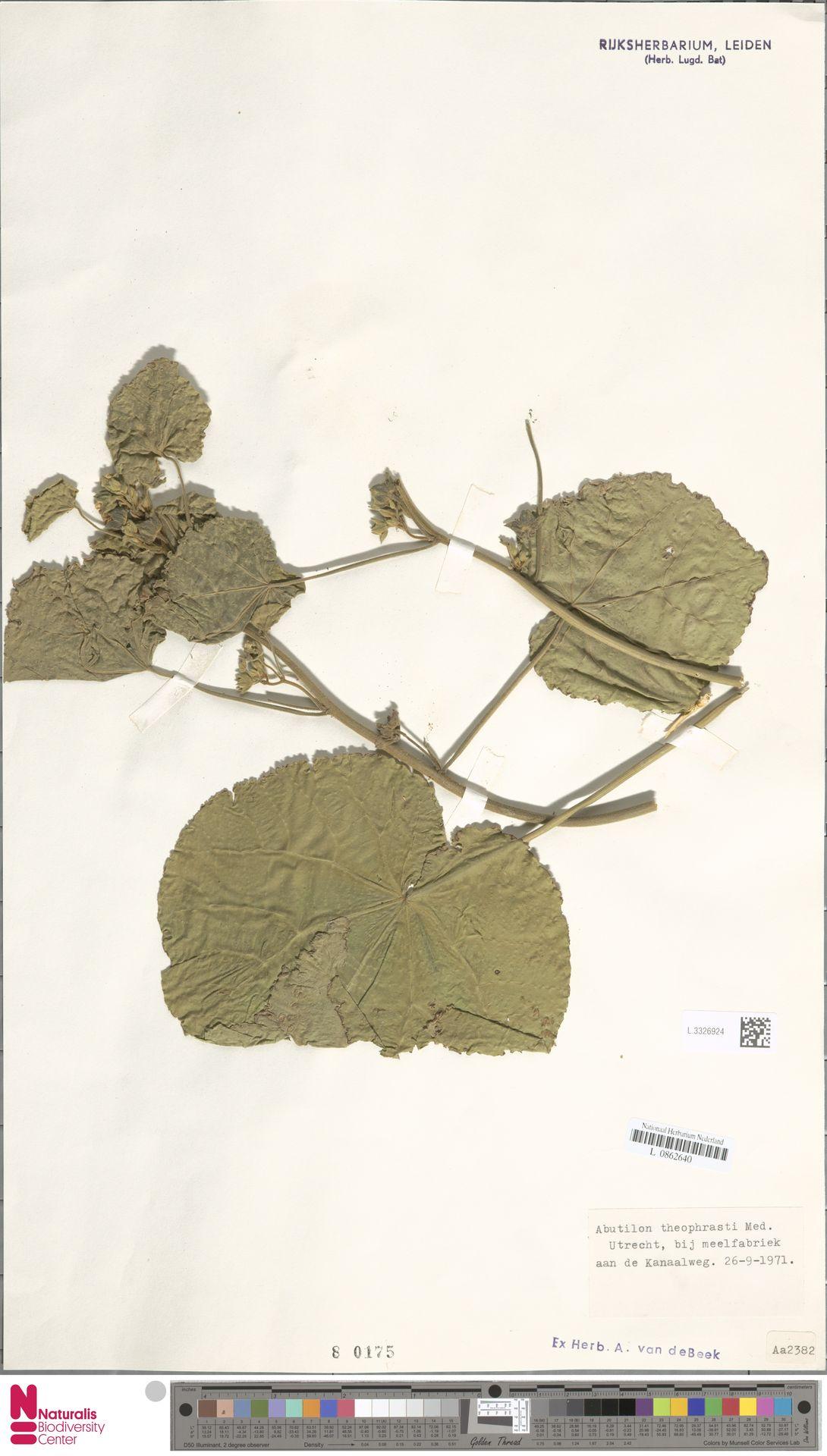 L.3326924 | Abutilon theophrasti Medik.