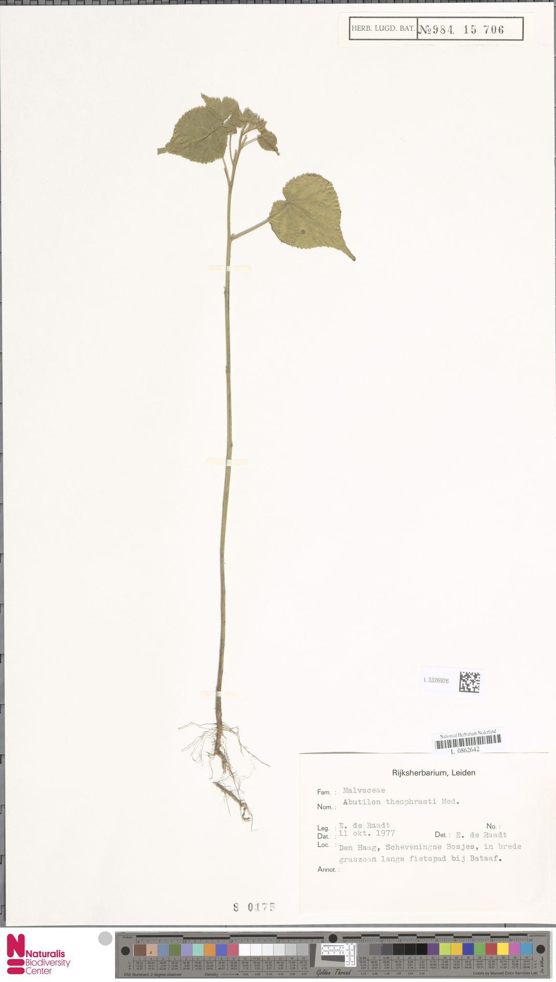 L.3326926 | Abutilon theophrasti Medik.