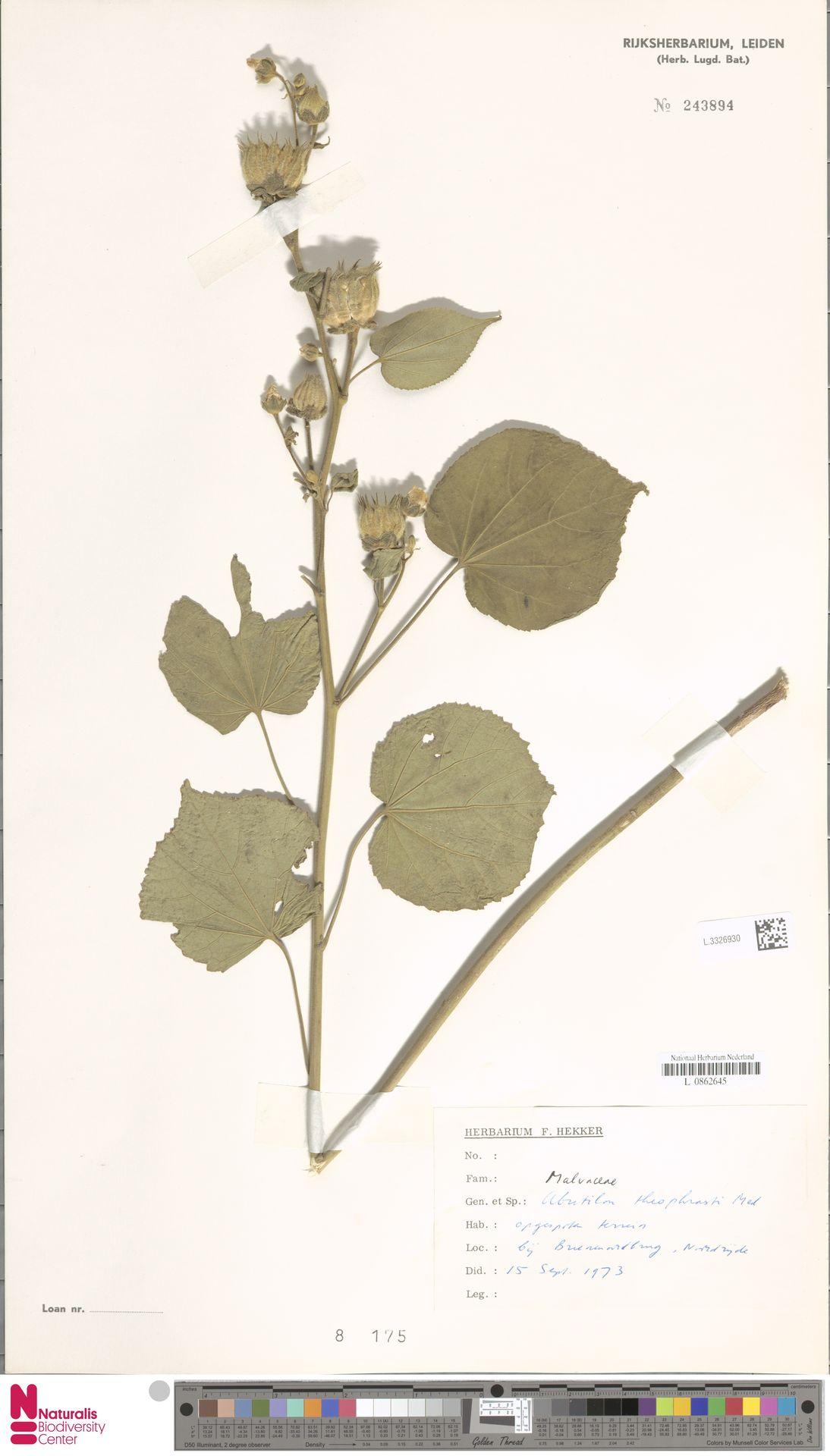 L.3326930 | Abutilon theophrasti Medik.