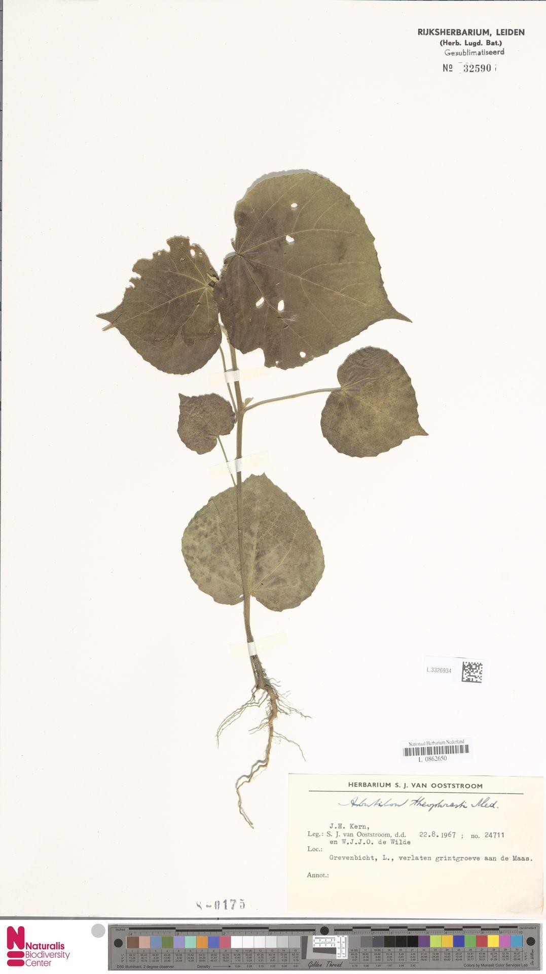 L.3326934 | Abutilon theophrasti Medik.