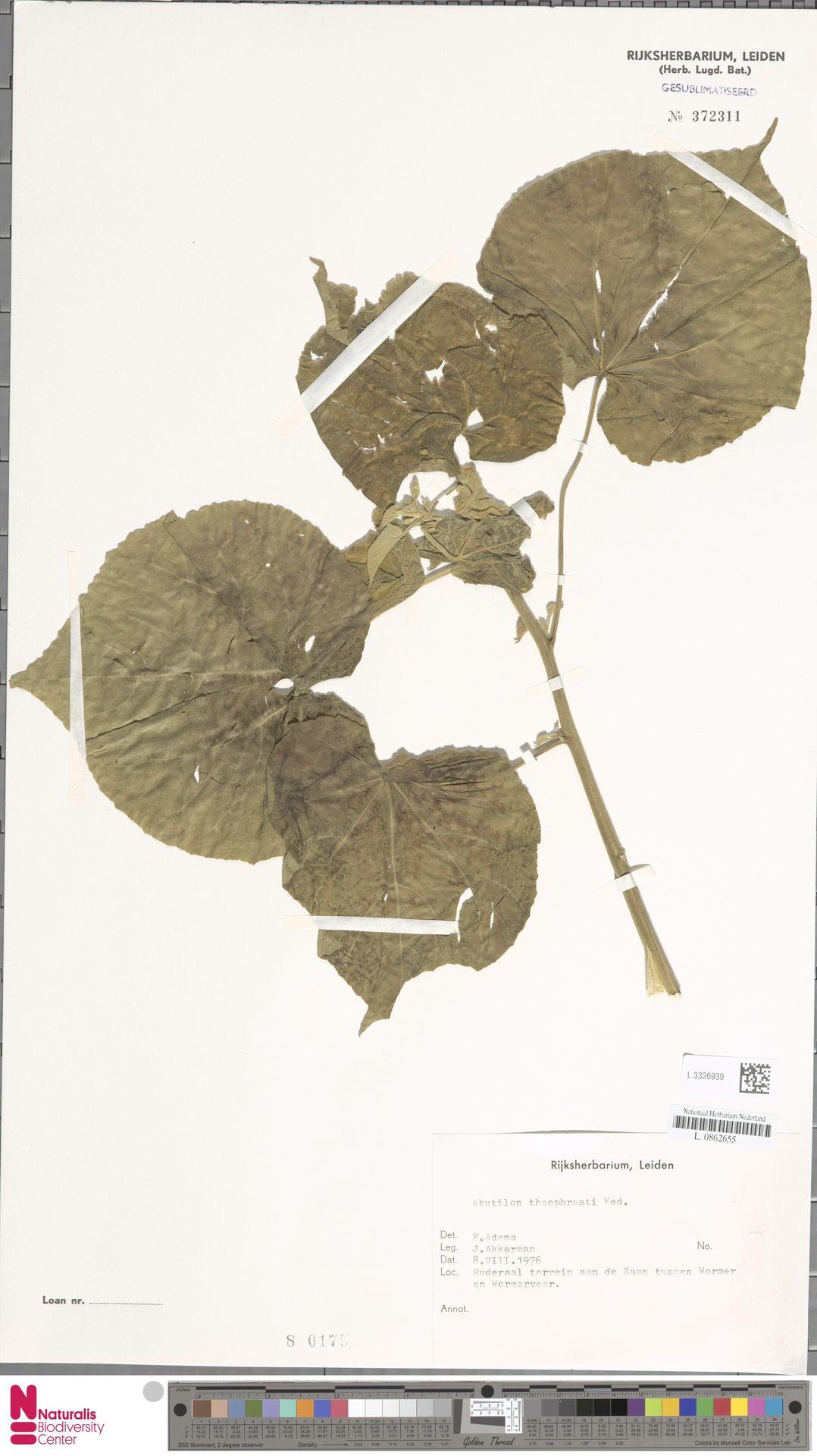 L.3326939 | Abutilon theophrasti Medik.