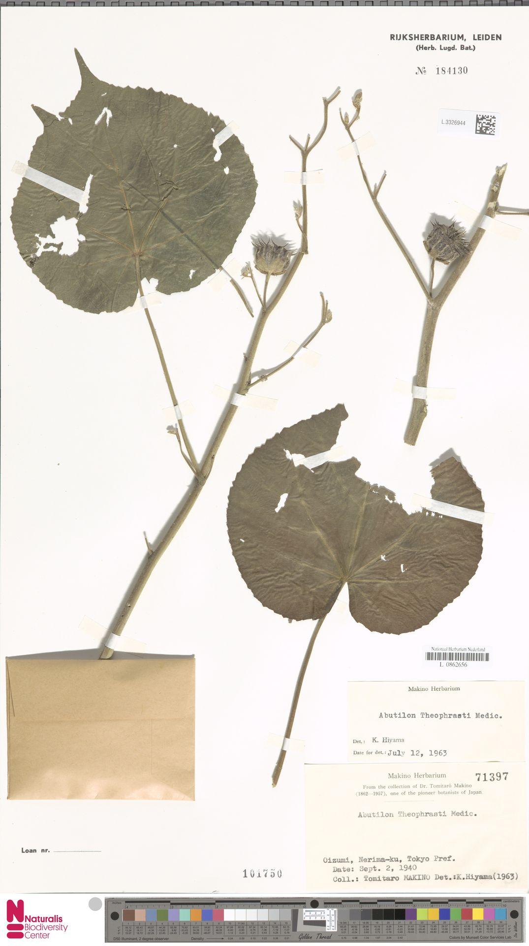 L.3326944 | Abutilon theophrasti Medik.