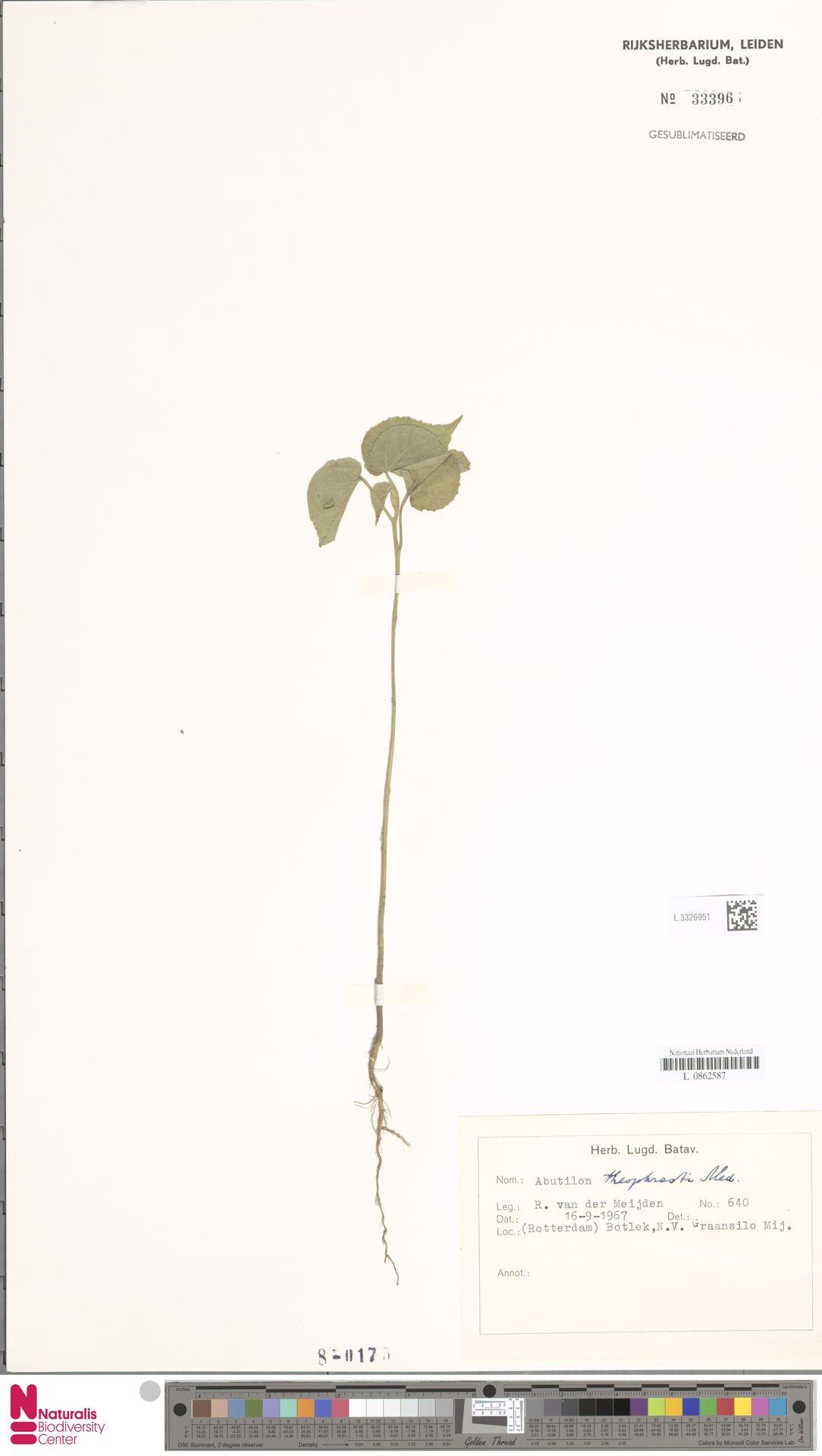 L.3326951 | Abutilon theophrasti Medik.