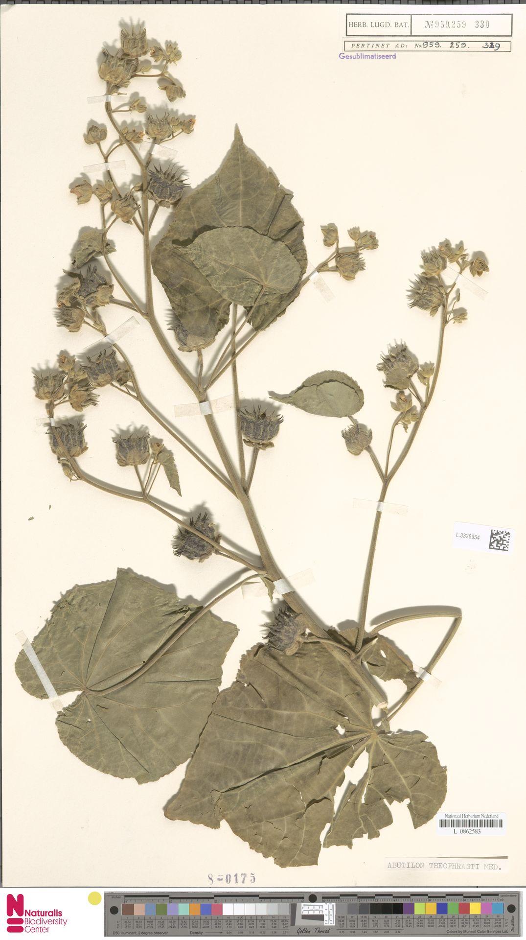L.3326954 | Abutilon theophrasti Medik.