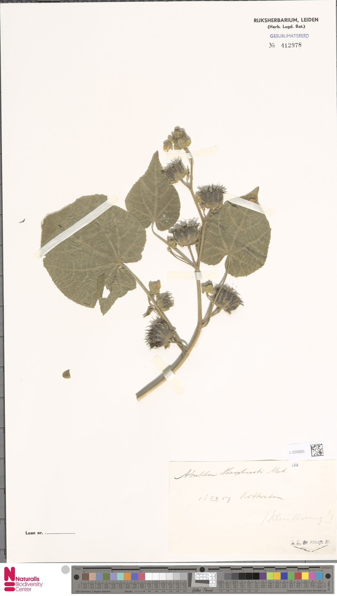 L.3326955 | Abutilon theophrasti Medik.