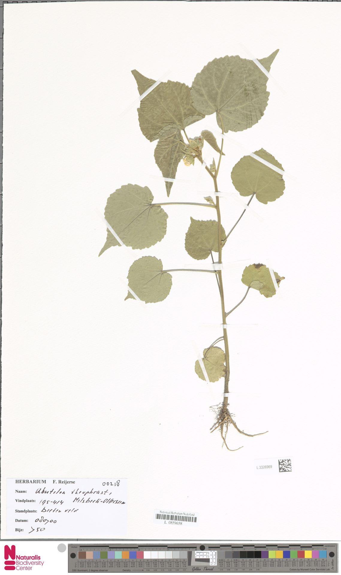 L.3326969 | Abutilon theophrasti Medik.