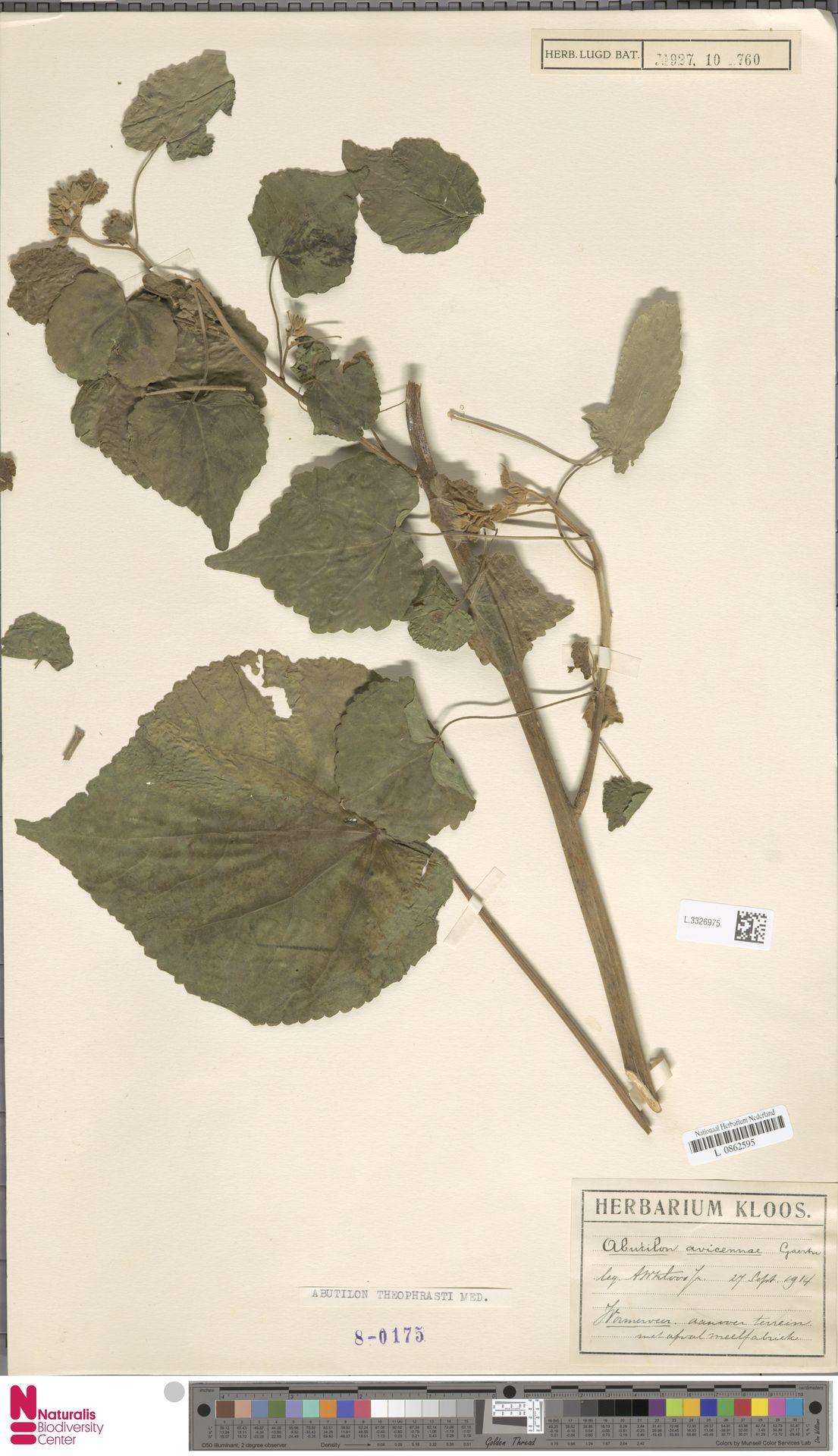 L.3326975   Abutilon theophrasti Medik.