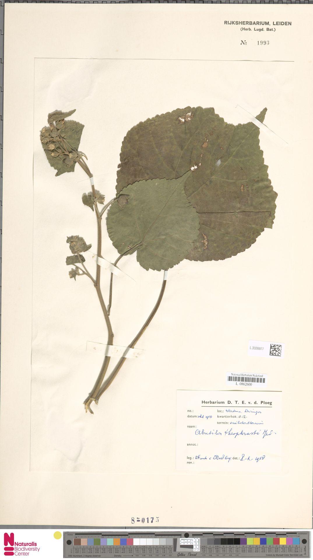 L.3326977   Abutilon theophrasti Medik.