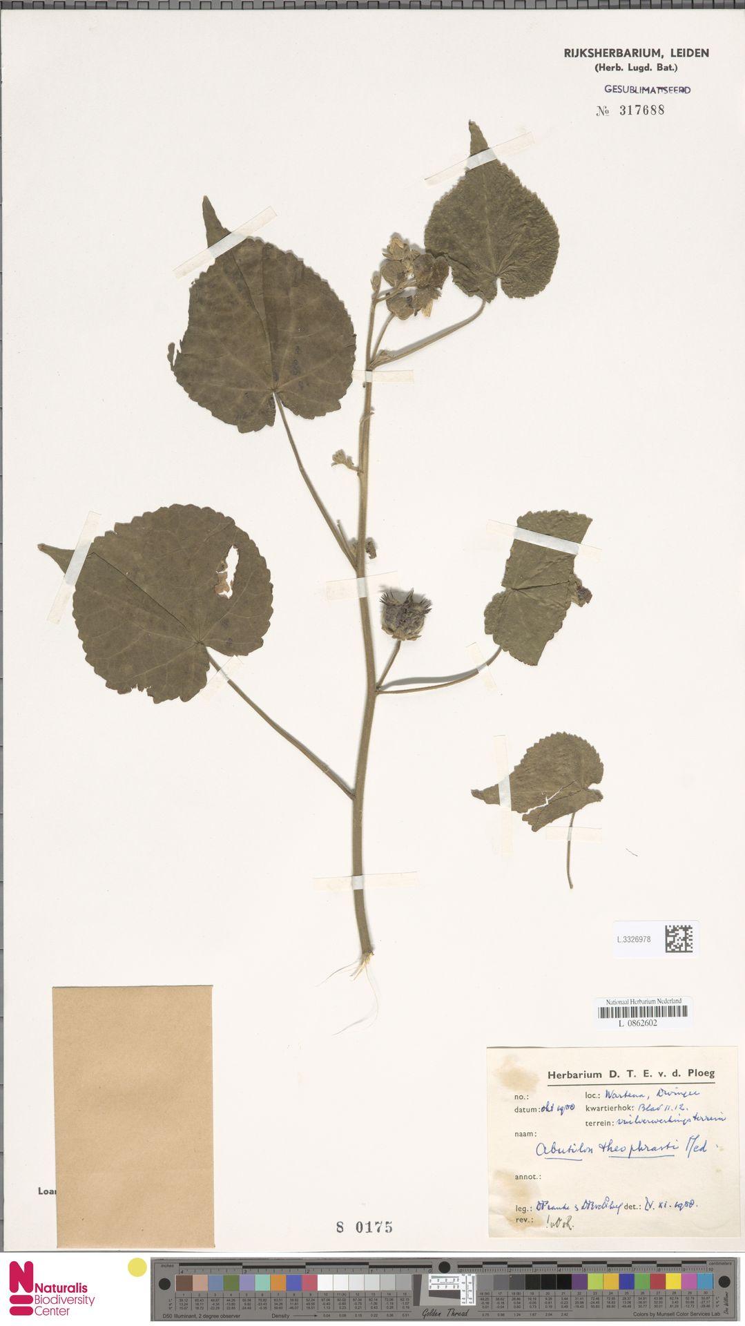 L.3326978 | Abutilon theophrasti Medik.