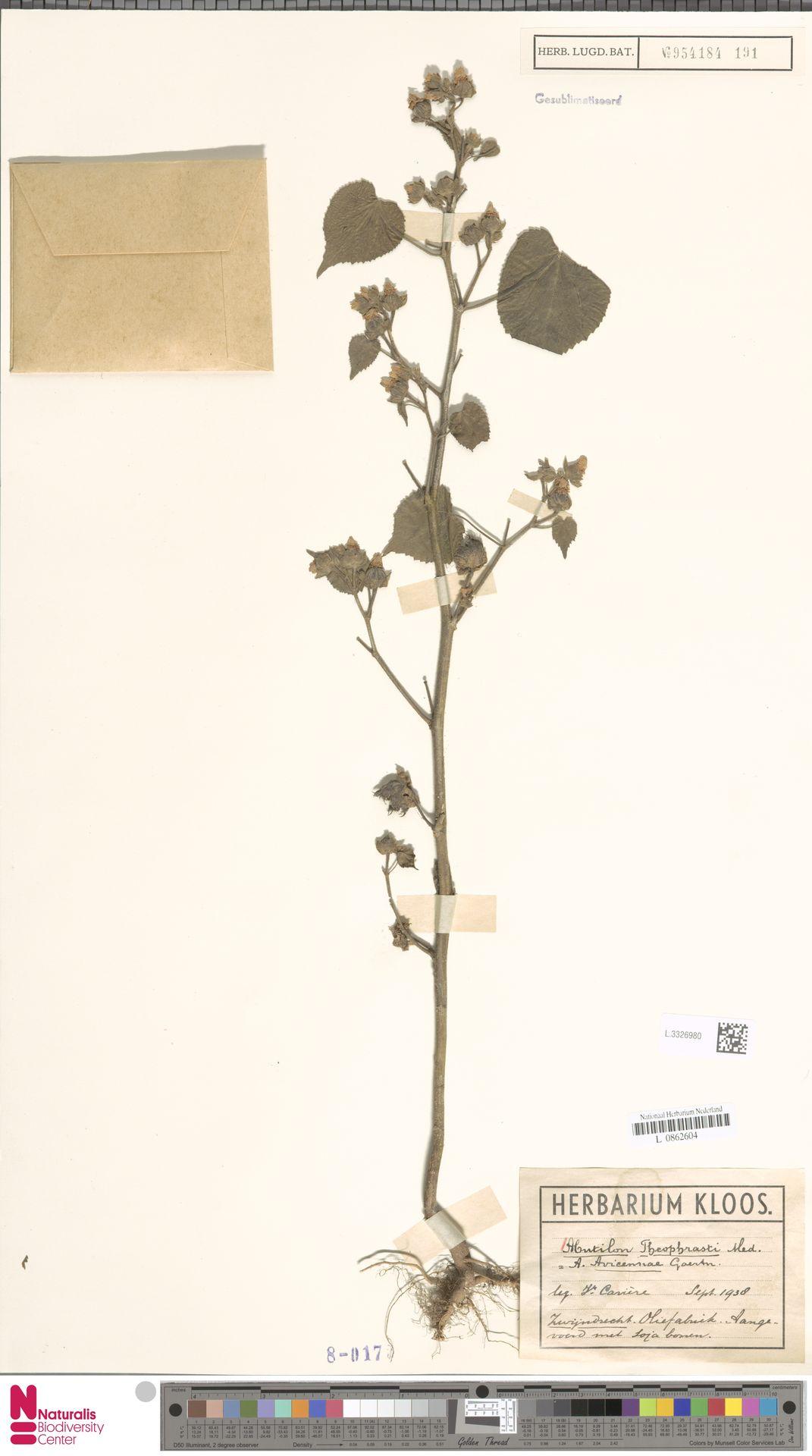 L.3326980 | Abutilon theophrasti Medik.