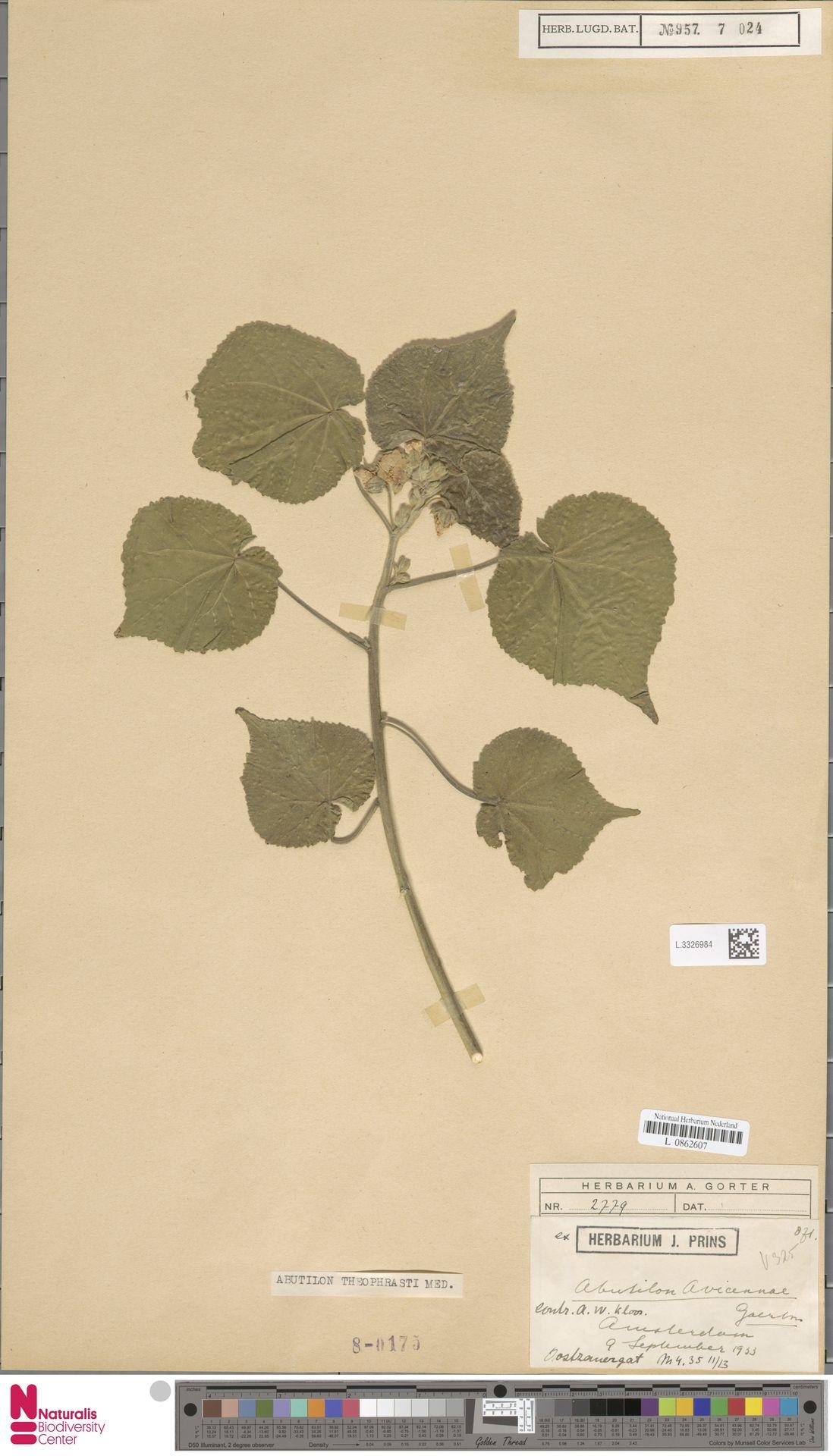 L.3326984 | Abutilon theophrasti Medik.