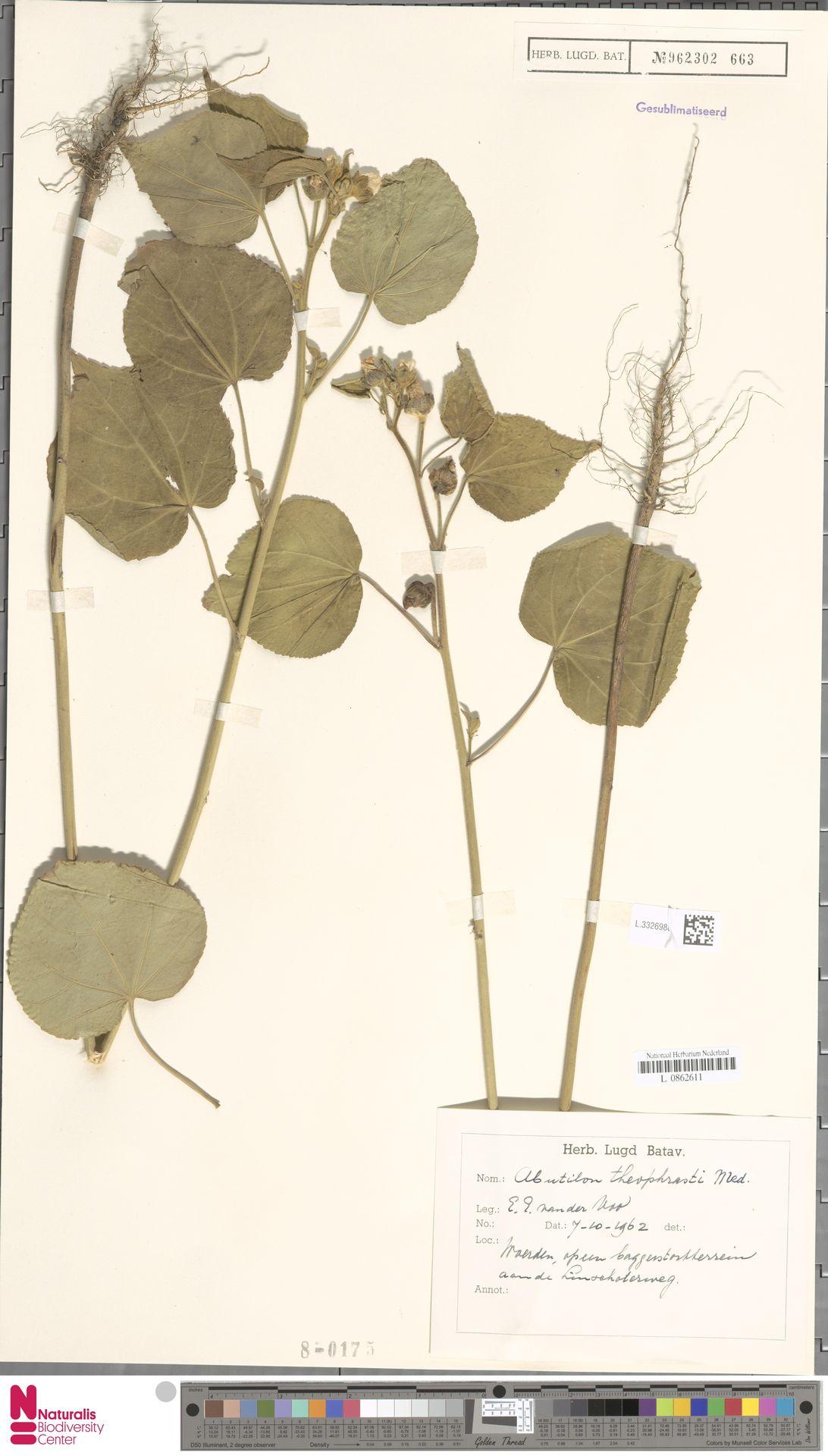 L.3326988 | Abutilon theophrasti Medik.