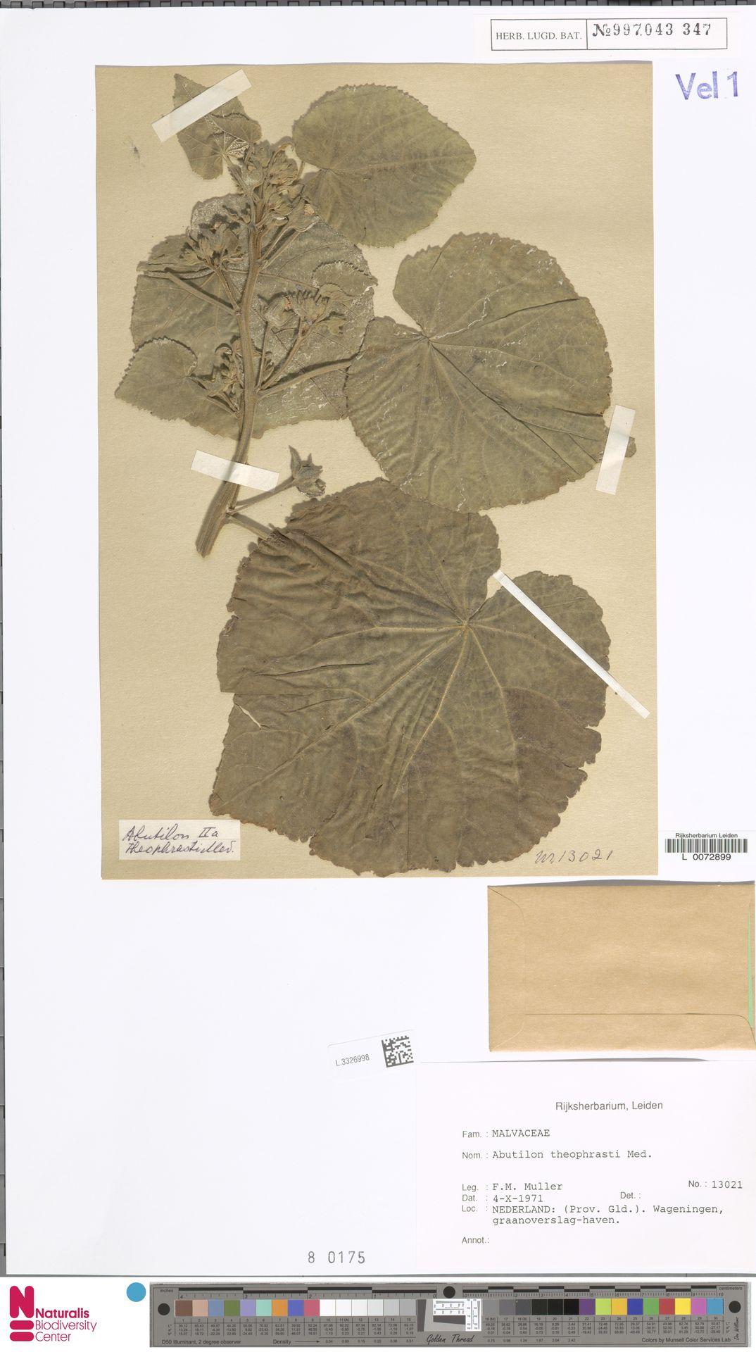 L.3326998 | Abutilon theophrasti Medik.