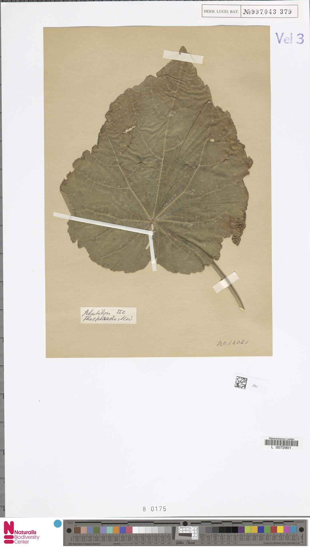 L.3327007 | Abutilon theophrasti Medik.