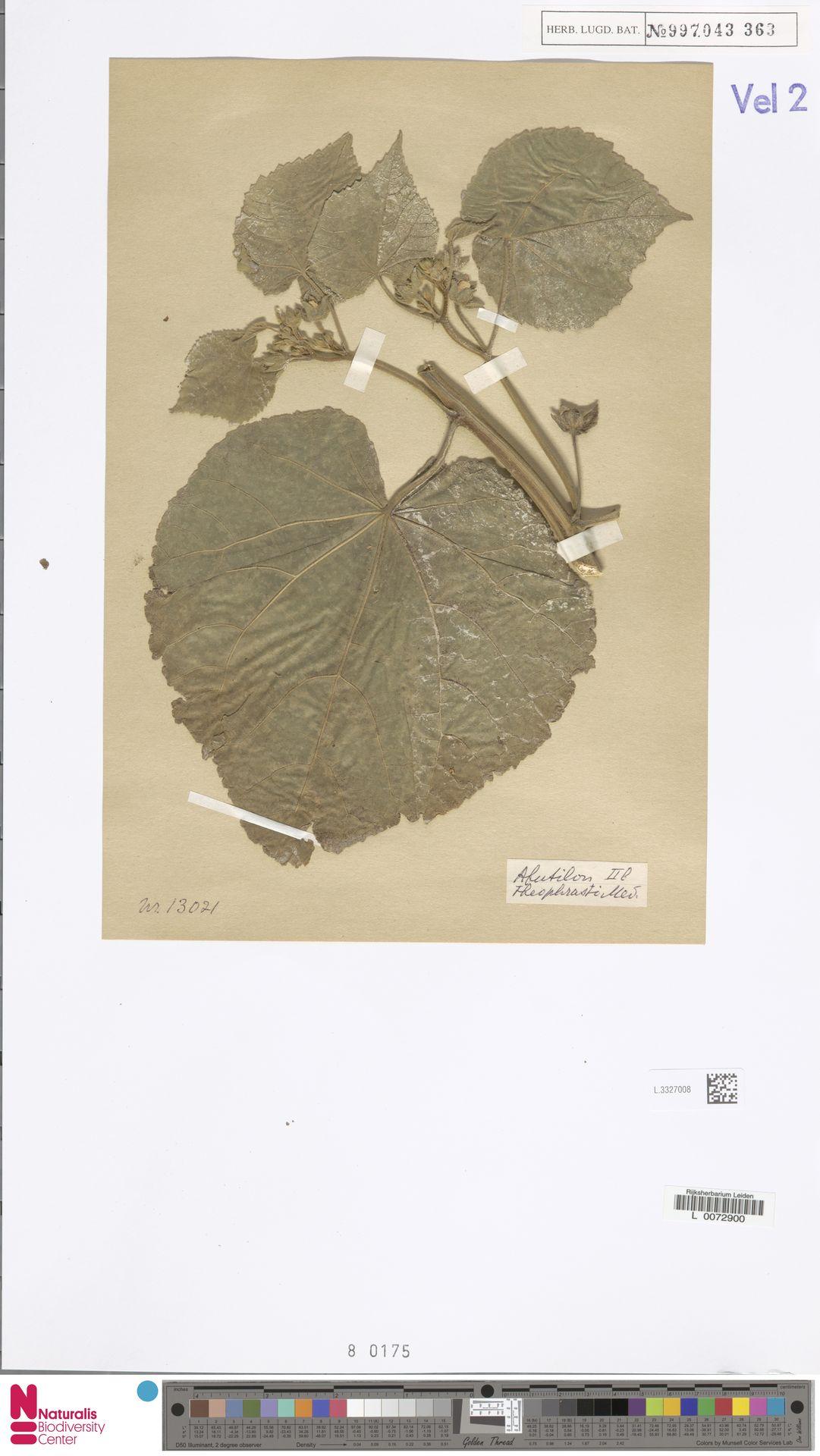 L.3327008 | Abutilon theophrasti Medik.