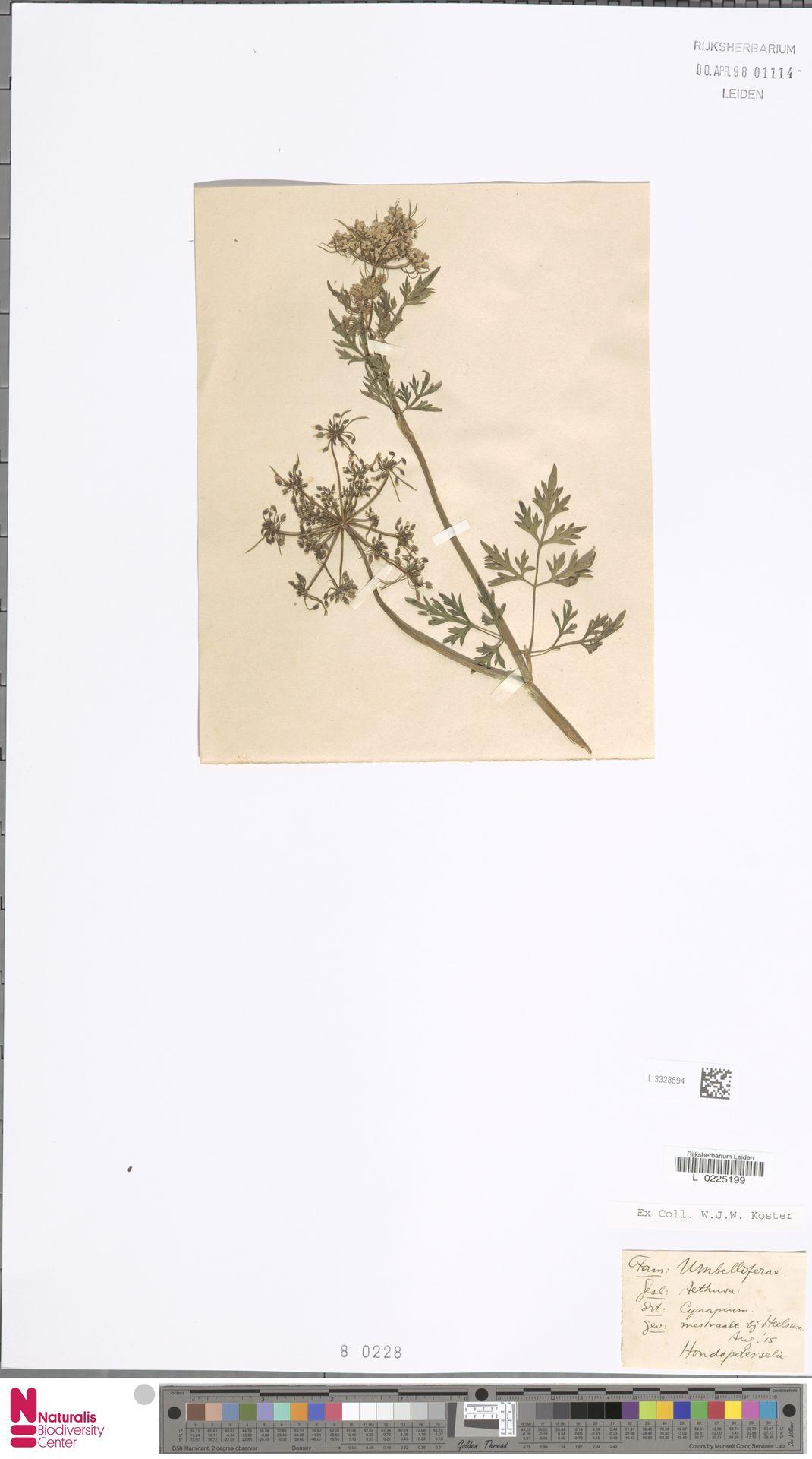 L.3328594 | Aethusa cynapium L.
