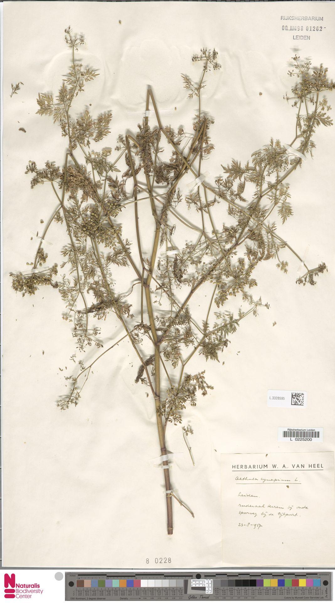 L.3328595   Aethusa cynapium L.