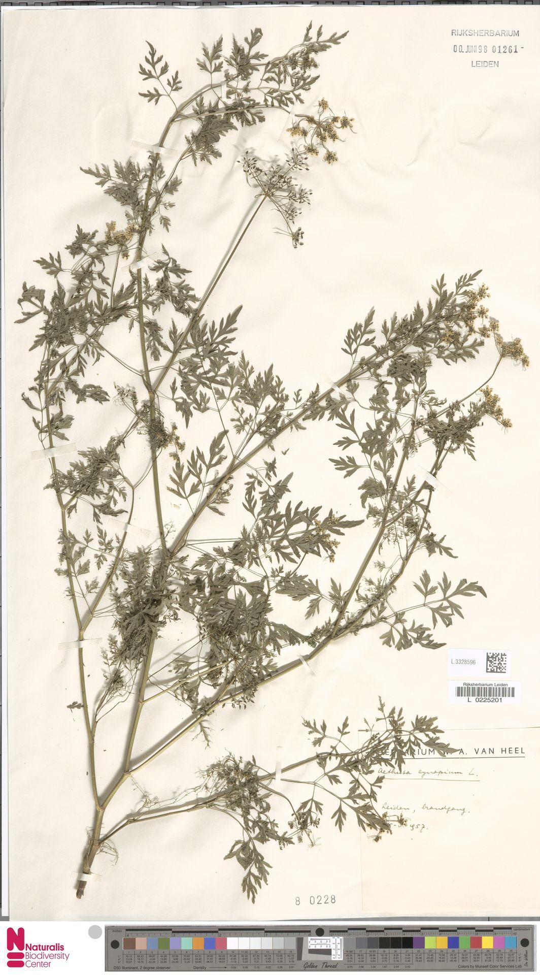 L.3328596 | Aethusa cynapium L.