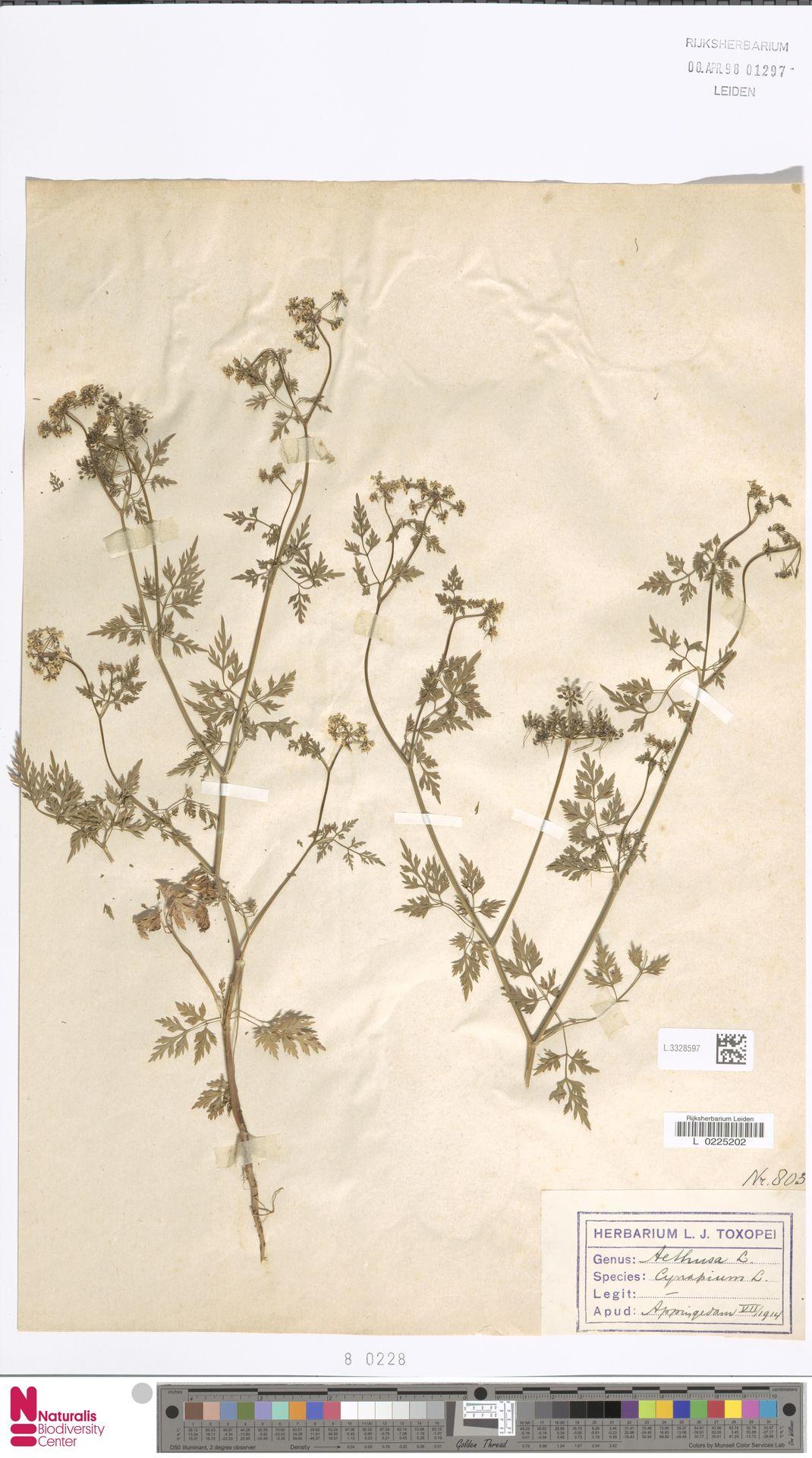 L.3328597   Aethusa cynapium L.