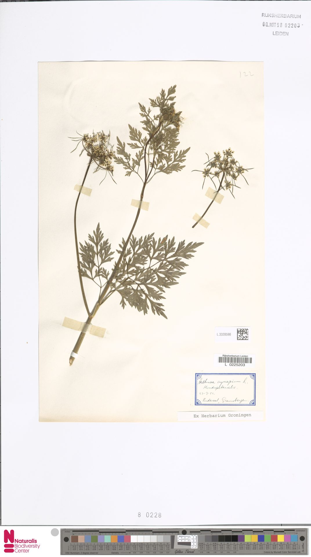 L.3328598 | Aethusa cynapium L.