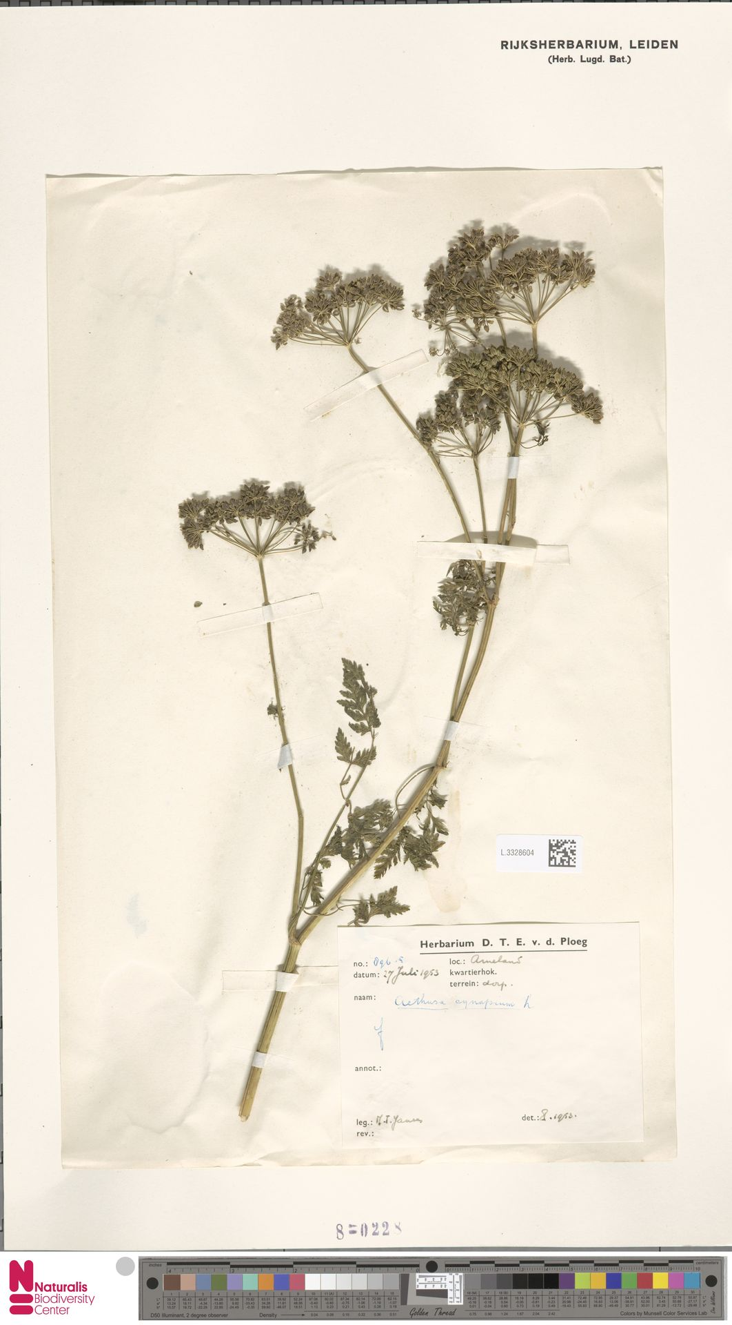 L.3328604   Aethusa cynapium L.