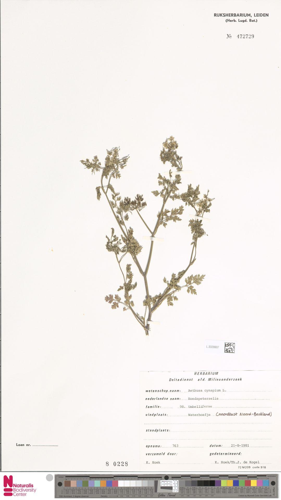 L.3328607   Aethusa cynapium L.