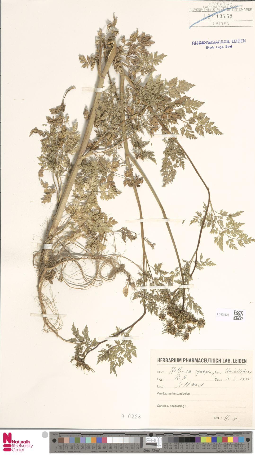 L.3328609 | Aethusa cynapium L.