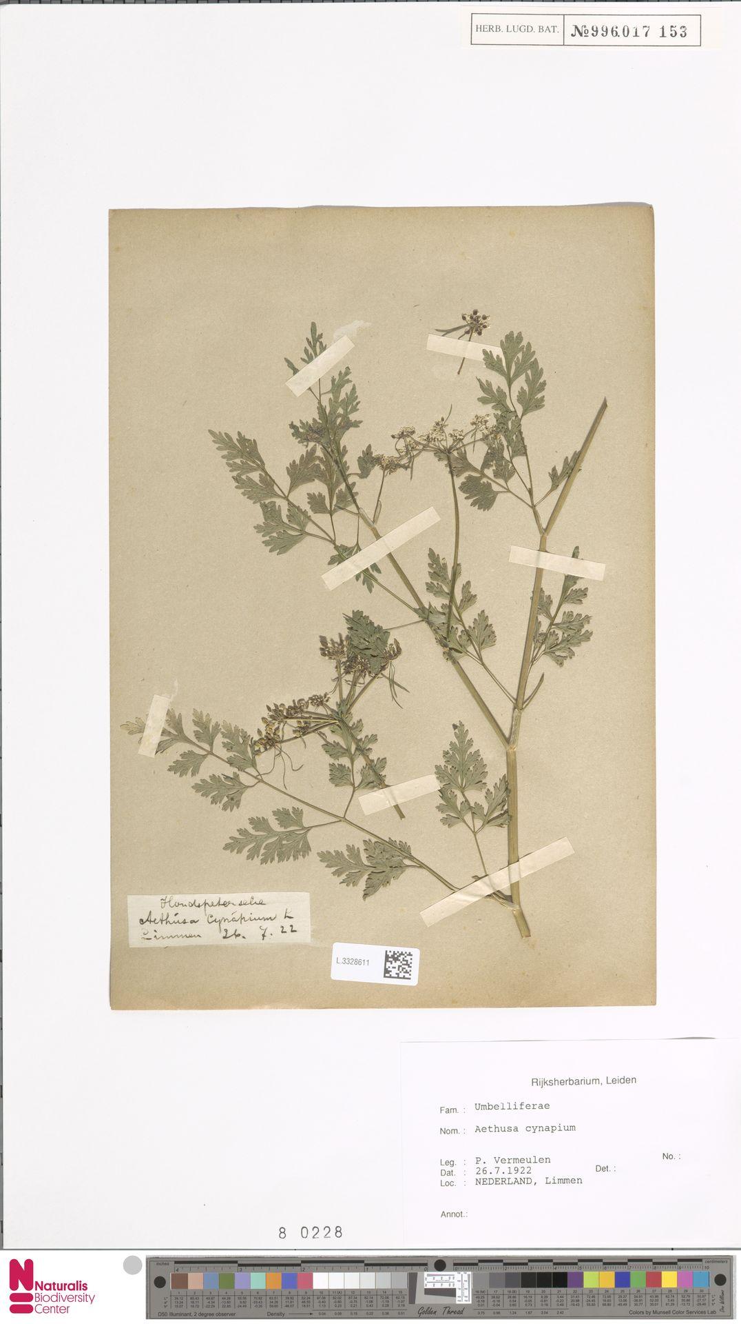 L.3328611   Aethusa cynapium L.