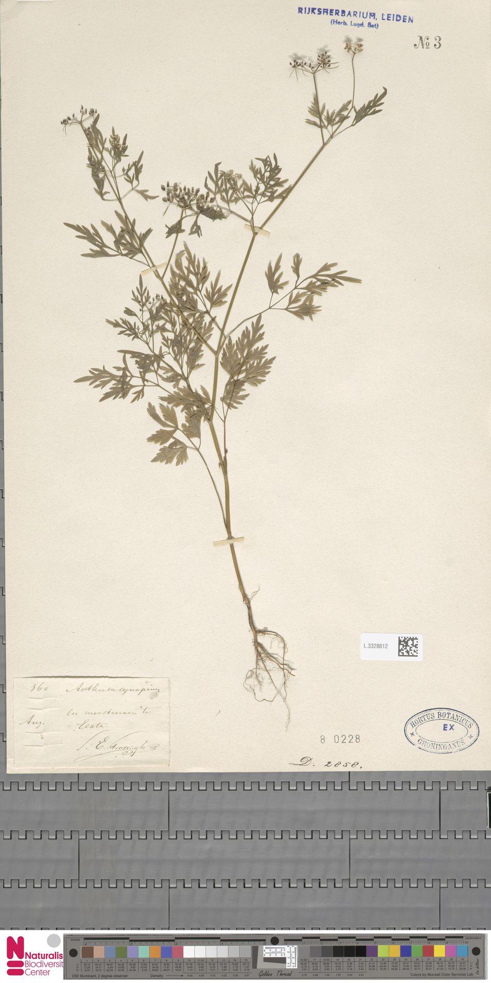 L.3328612   Aethusa cynapium L.
