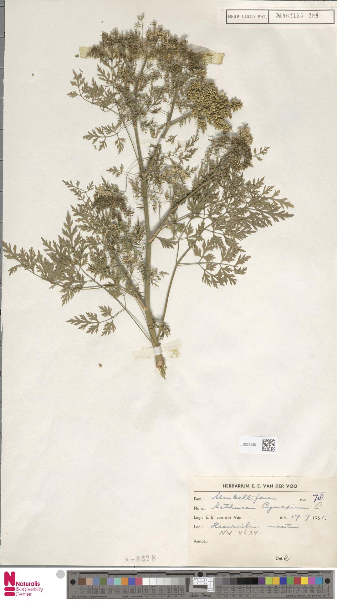 L.3328636 | Aethusa cynapium L.